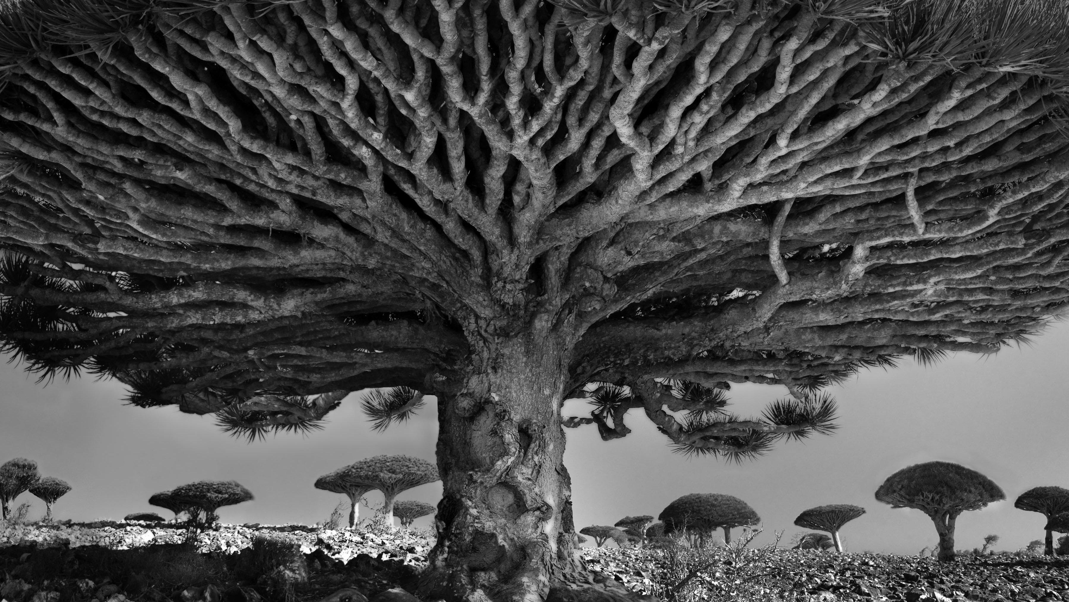 oldest tress in world (Beth Moon)