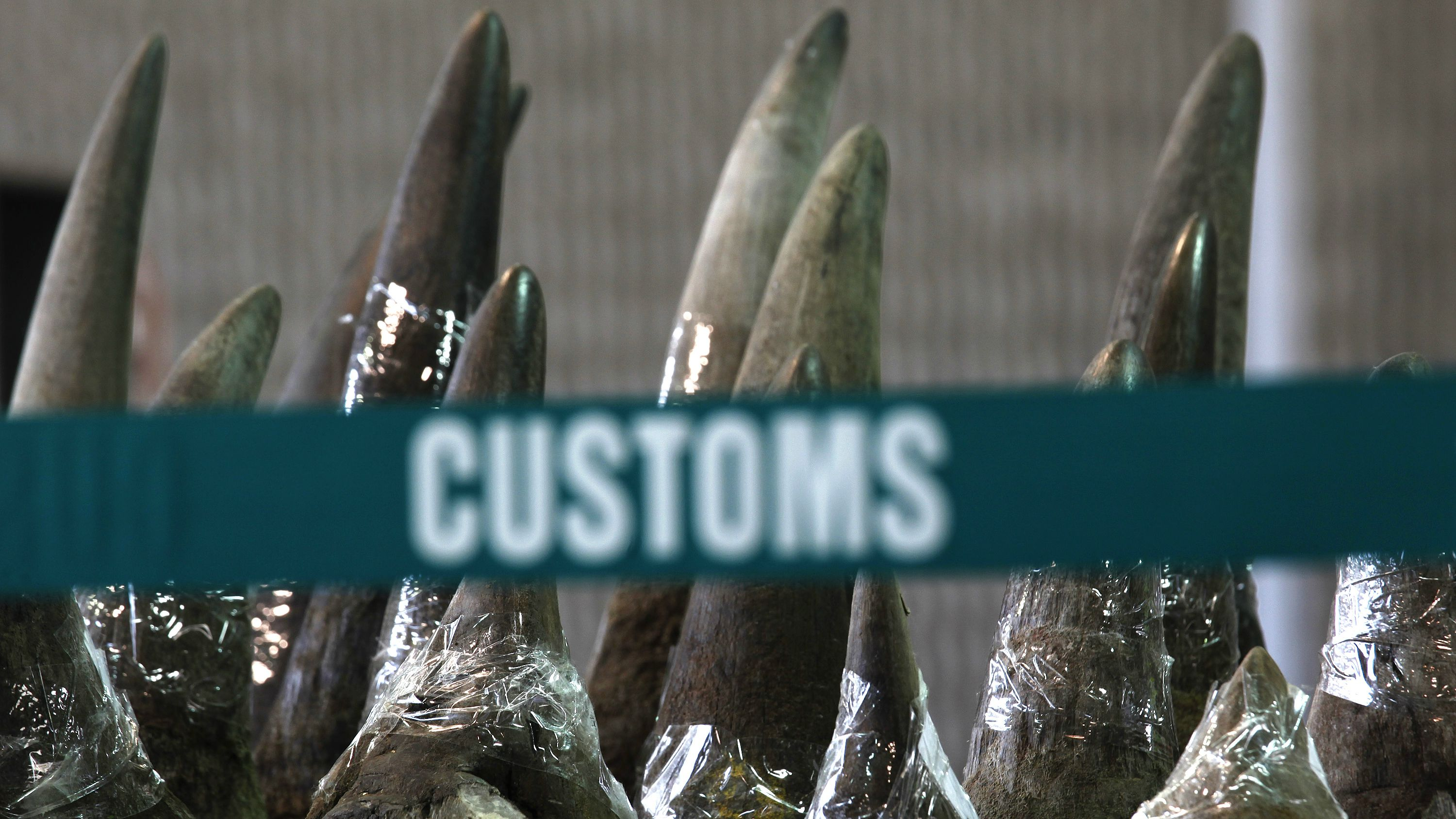 Part of a shipment of 33 rhino horns seized by Hong Kong Customs and Excise Department is displayed during a news conference in Hong Kong November 15, 2011. Hong Kong Customs seized on Tuesday a total of 33 rhino horns, 758 ivory chopsticks and 127 ivory bracelets, worth about HK$17.4 million ($2.23 million), inside a container shipped from Cape Town, South Africa, according the a customs press release. REUTERS/Bobby Yip