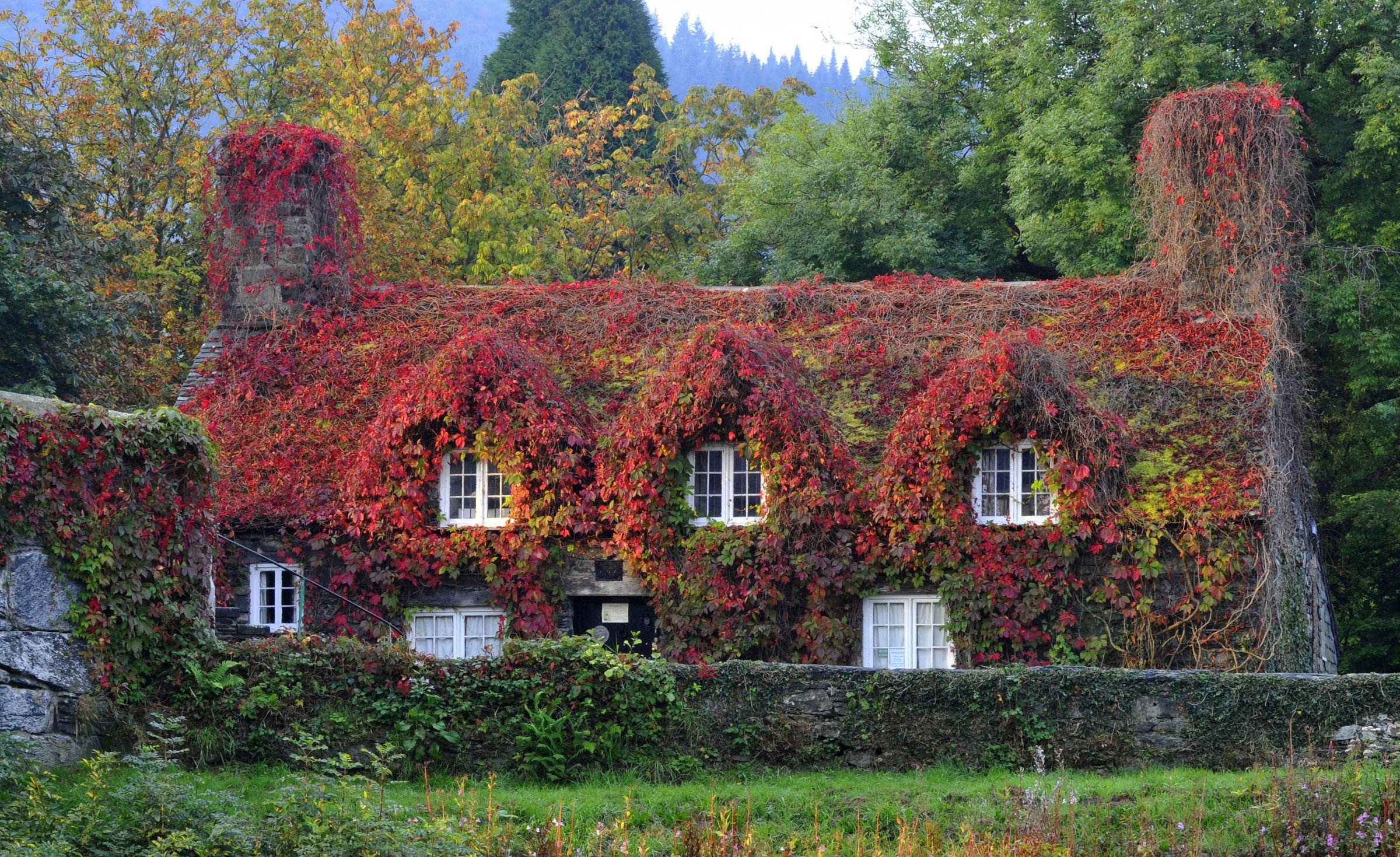 Virginia creeper covering a 15th-century cottage house, UK.
