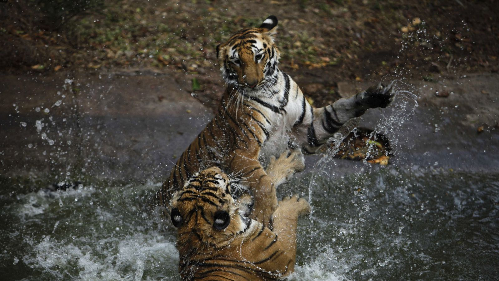 India-Tiger-Environment-Forest
