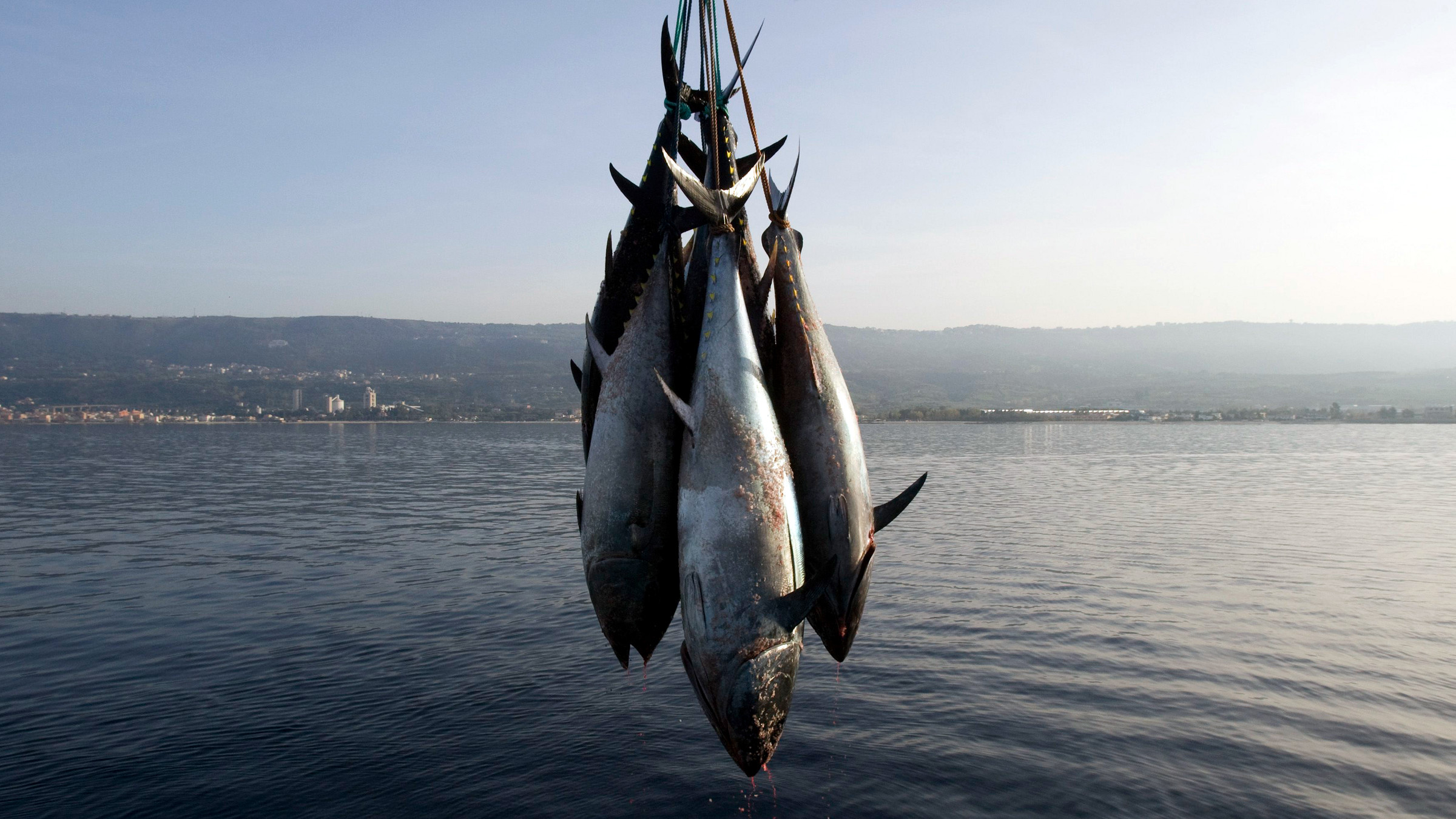 "Freshly-harvested Bluefin tunas are uploaded from a ""tuna farm"", off the Calabrian coast in southern Italy November 20, 2009. Fishing nations agreed to cut by about a third the quota for Atlantic bluefin tuna, a giant fish prized by sushi lovers, numbers of which have been decimated by commercial catches. Picture taken November 20, 2009."