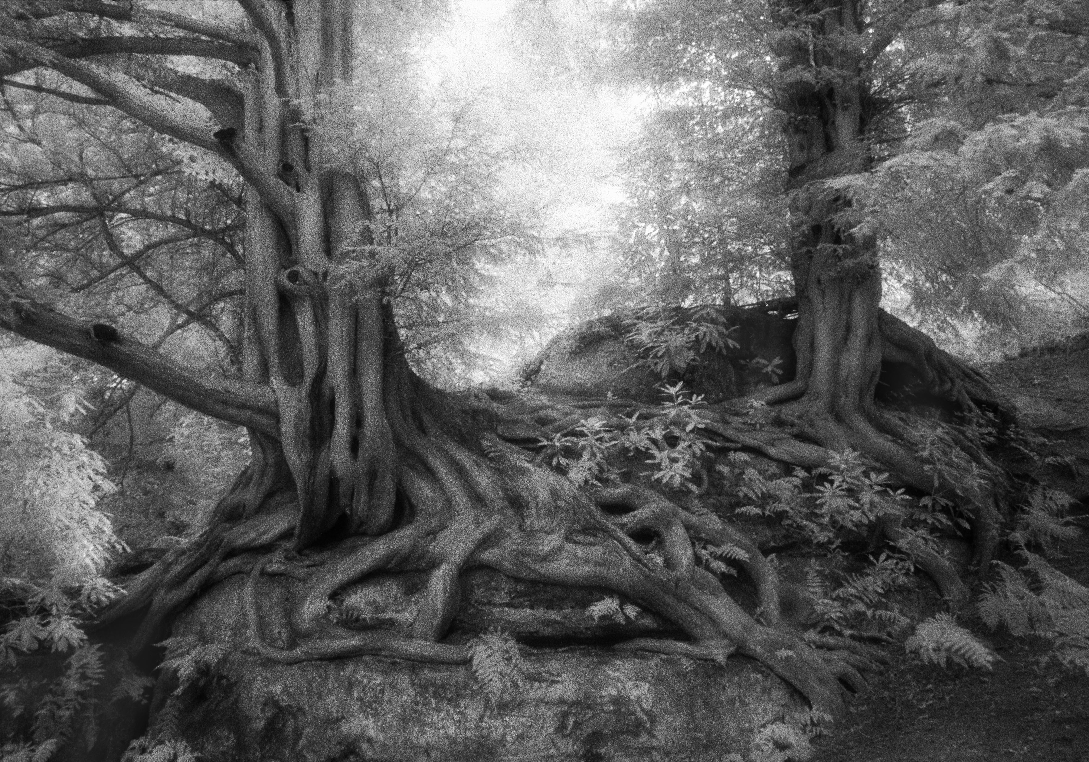 Wakehurst Yews-beth-moon-ancient-trees
