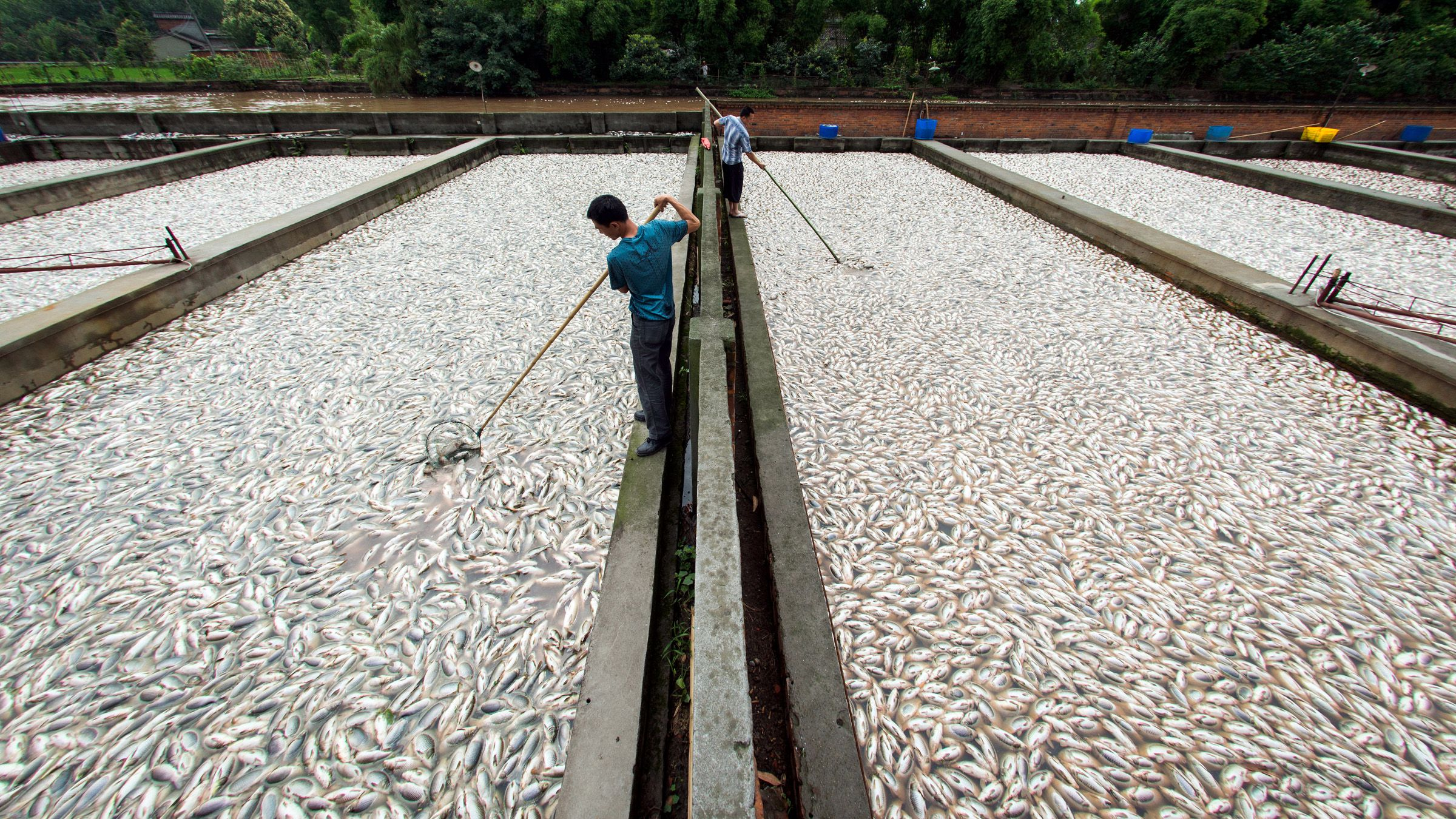 Farmers collect dead fish from their fishponds in Xinjin county of Chengdu, Sichuan province June 9, 2013. More than 400 tonnes of fish were found dead on Saturday morning in 55 fishponds in Xinjin. Local environmental protection administration said no industrial pollution was found, and the fish were killed by insufficient of oxygen in the river, local media reported. Picture taken June 9, 2013.