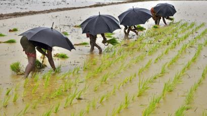in rice paddy with umbrellas