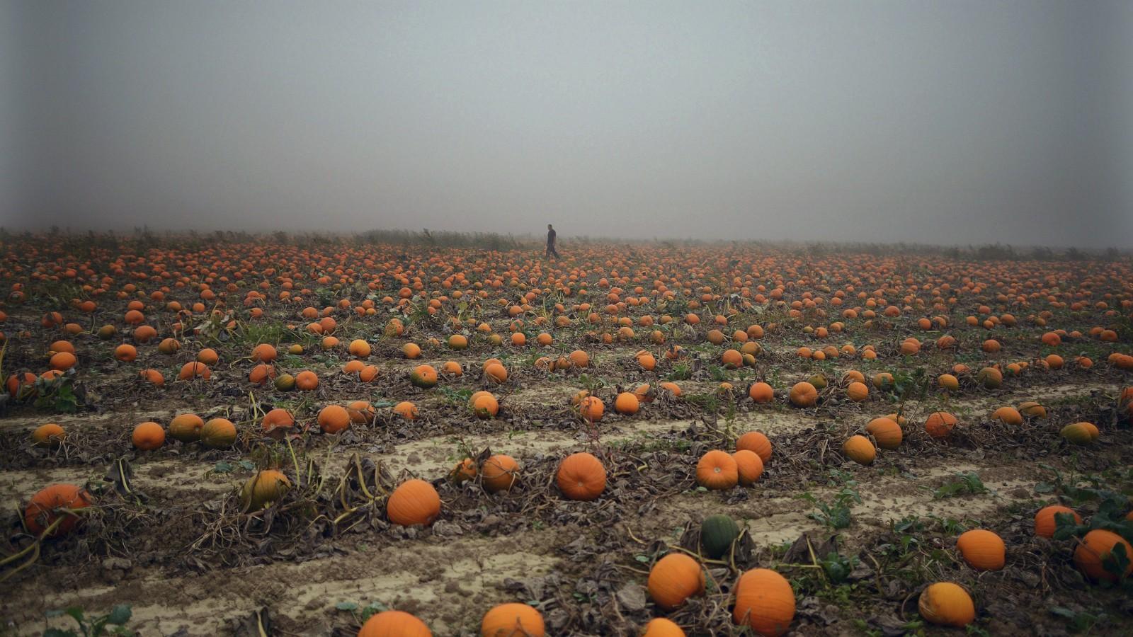 A man walks through a misty pumpkin field