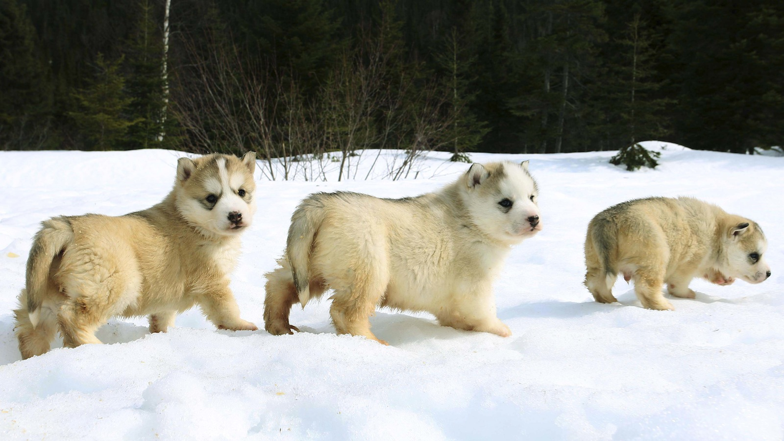 One-month-old Siberian husky sled puppies follow one another in a line during an exercise walk outside of their kennel in Wiltondale, Newfoundland, April 10, 2008. The puppies will be ready to work on the same dog sled team in seven months time.  REUTERS/Paul Darrow (CANADA) - RTR1ZBVP