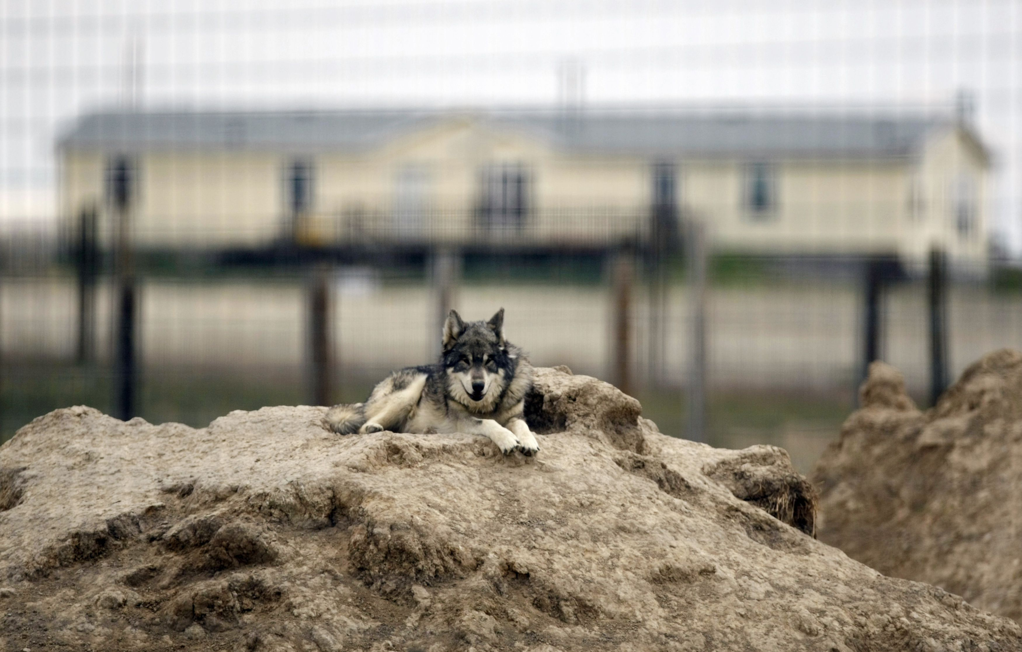 A rescued Eastern Grey Wolf rests near a private home at The Wild Animal Sanctuary on the prairie near Keenesburg, Colorado May 22, 2012.