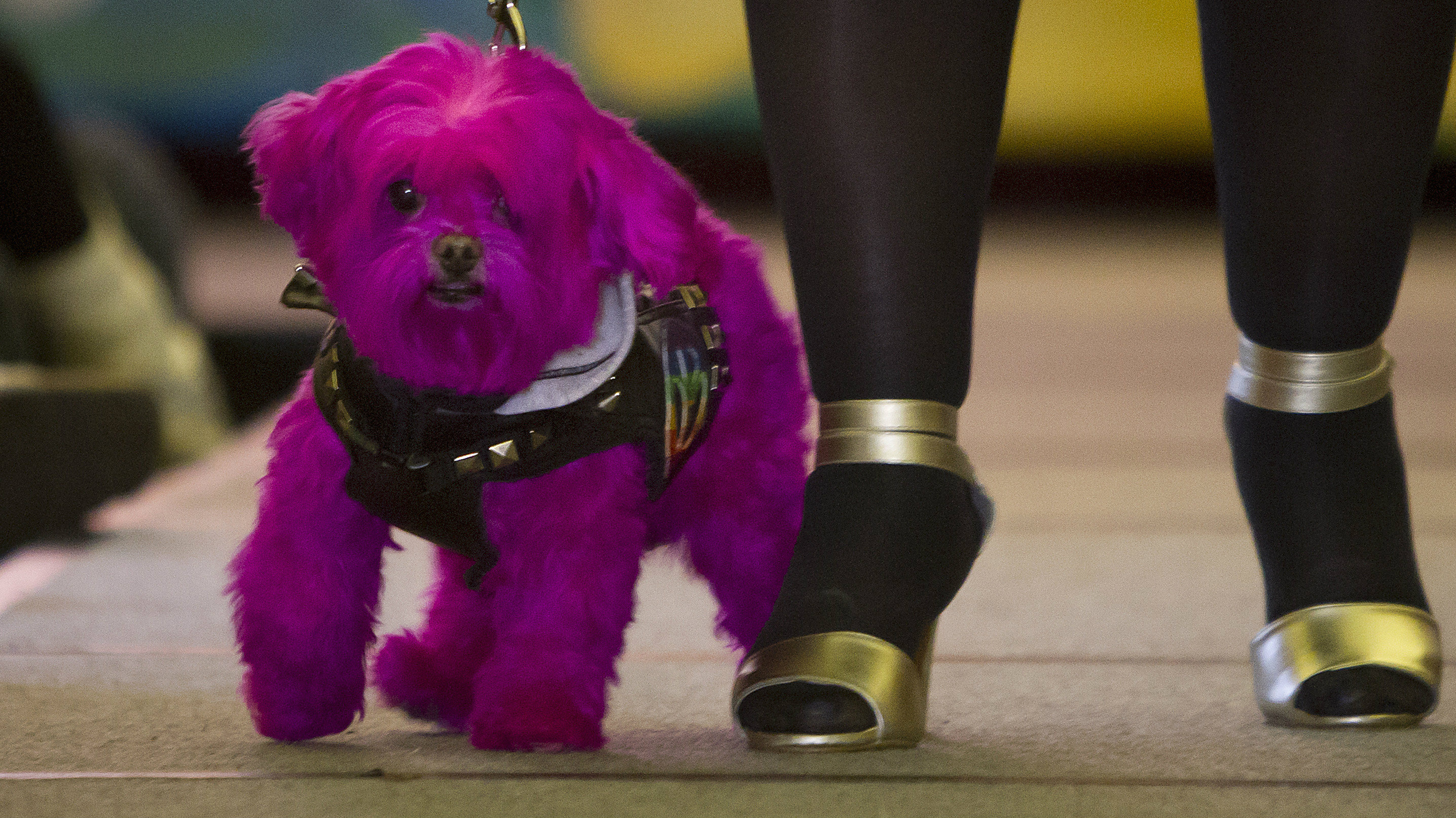 A dog walks the runway during a New York Pet Fashion Show event during Fashion Week in the Manhattan borough of New York February 12, 2015.