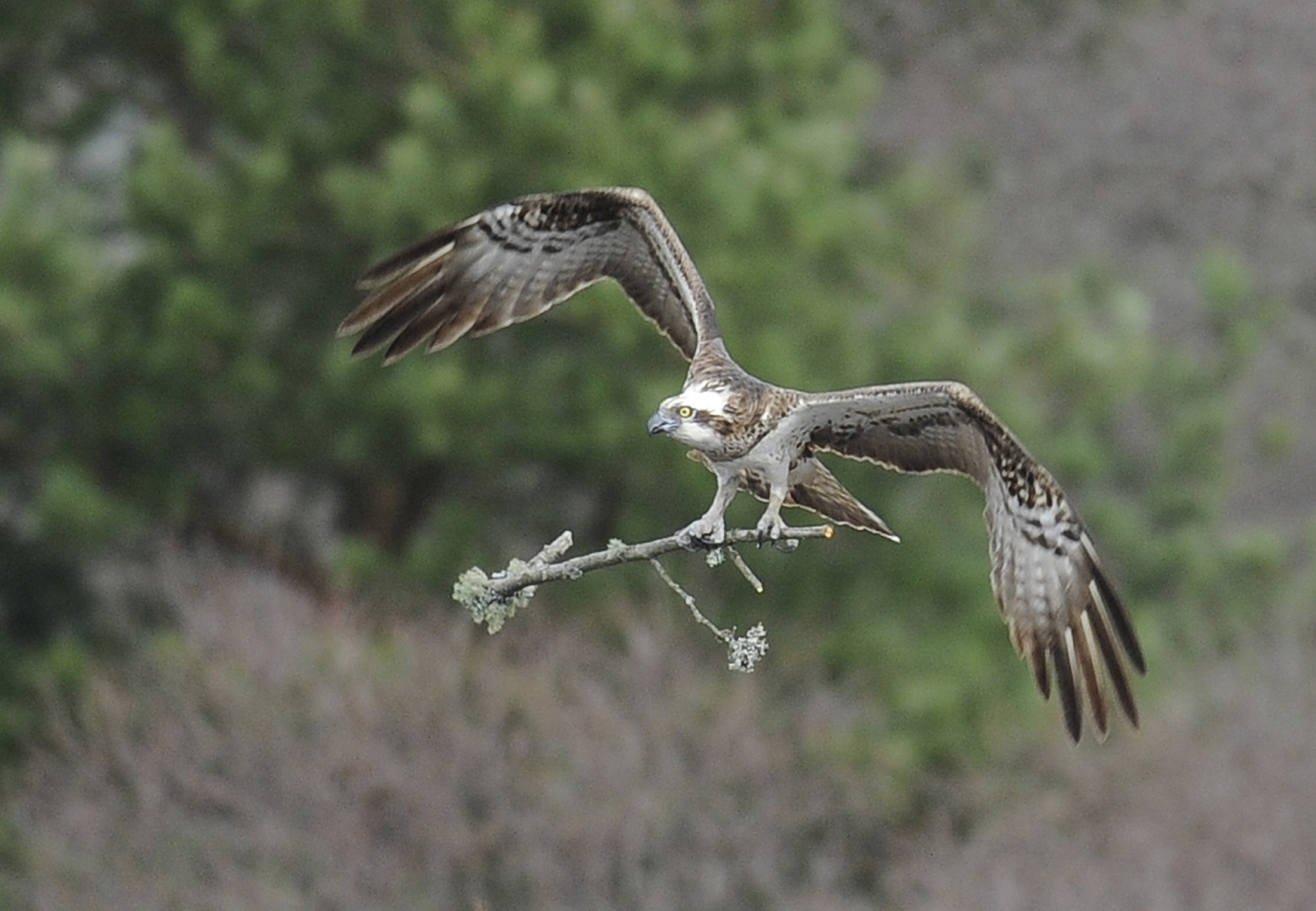 A female Osprey carries a tree branch to her nest at Loch of the Lowes Wildlife Reserve, Perthshire, Scotland.