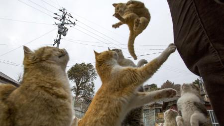 A cat jumps for food offered by a tourist (R) as other cats beg for food on Aoshima Island in Ehime prefecture in southern Japan February 25, 2015. An army of cats rules the remote island in southern Japan, curling up in abandoned houses or strutting about in a fishing village that is overrun with felines outnumbering humans six to one. Picture taken February 25, 2015. To match story JAPAN-CATS/ REUTERS/Thomas Peter