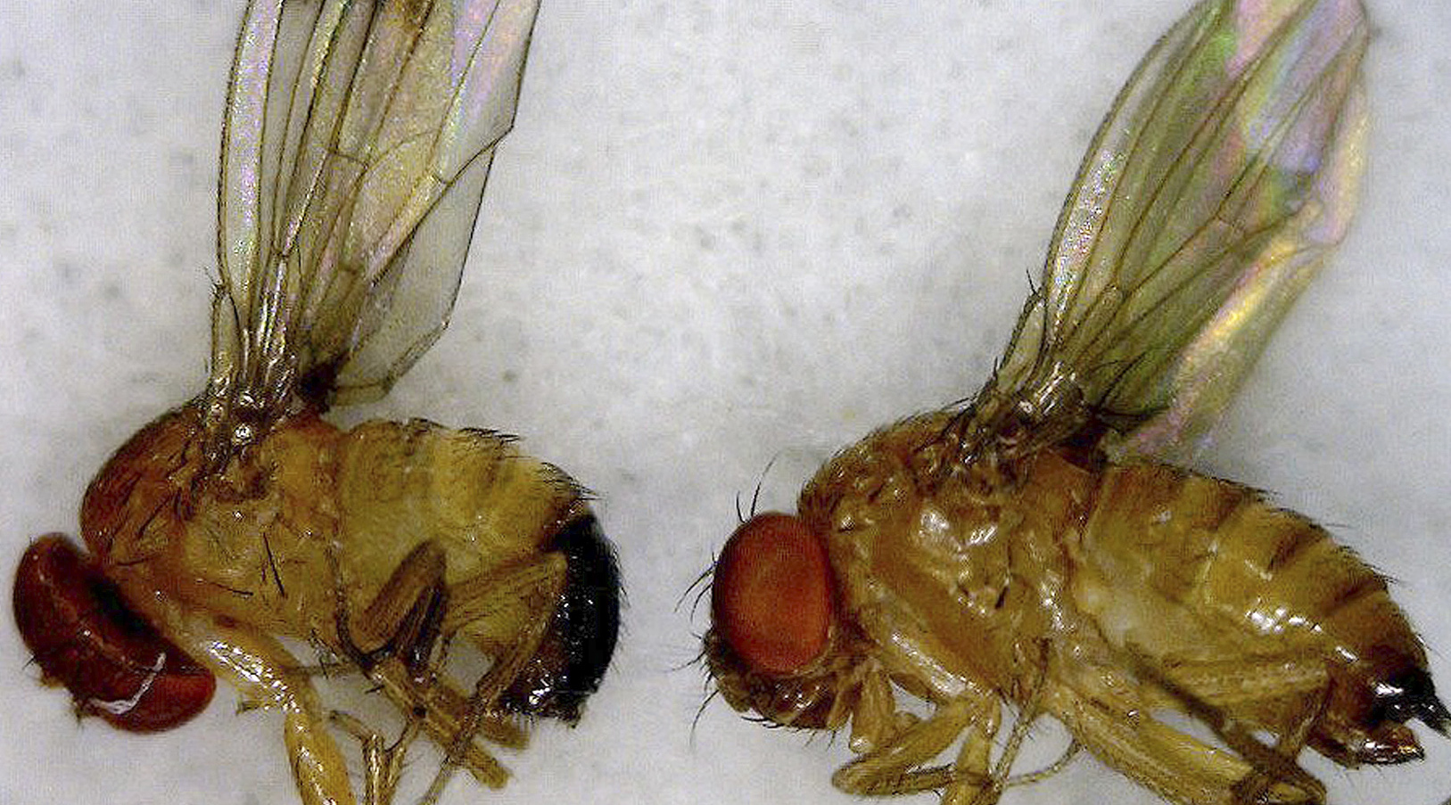 This July 2012 photo released by the University of Maine Cooperative Extension Service shows a male, left, and female, right, spotted wing drosophila, an invasive fruit fly.