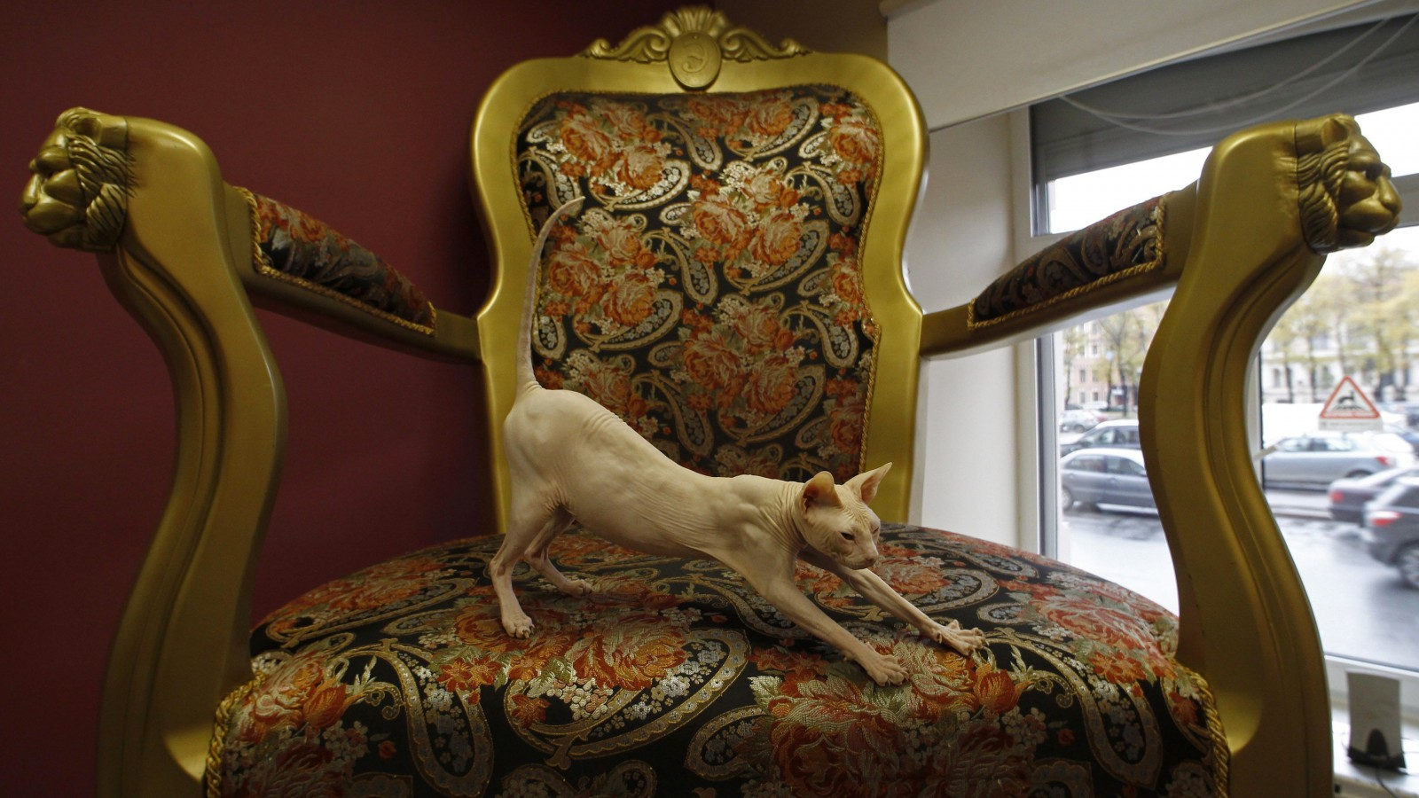Dyushes, a Don Sphynx cat, stretches on an armchair, Russia.