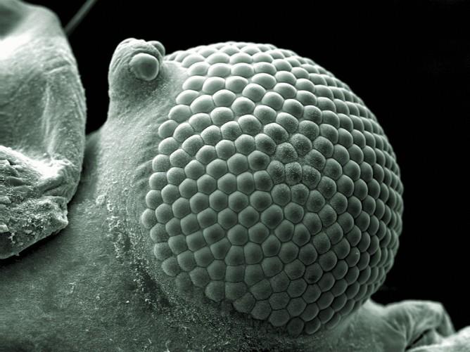 greenfly eye