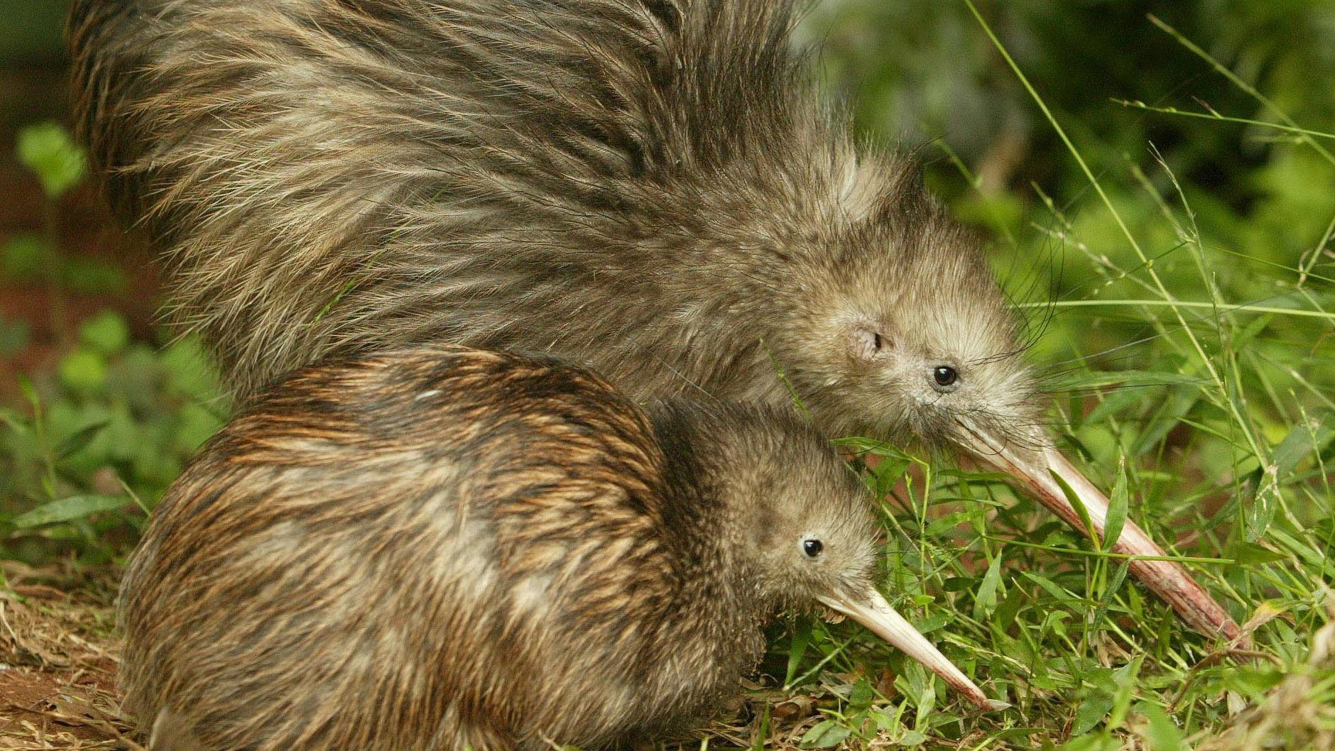 ** ADVANCE FOR THURSDAY, DEC. 25 ** A large female kiwi keeps a younger bird company at The Northpower Native Bird Recovery Centre in Whangarei, New Zealand Feb. 24, 2004. The introduction by humans over the centuries of pests such as rats, cats, dogs, stoats, ferrets, weasels and possums have made the battle to save New Zealand's endemic animals so tough the government concedes it is unwinnable on some fronts. (AP Photo/New Zealand Herald, John Stone)