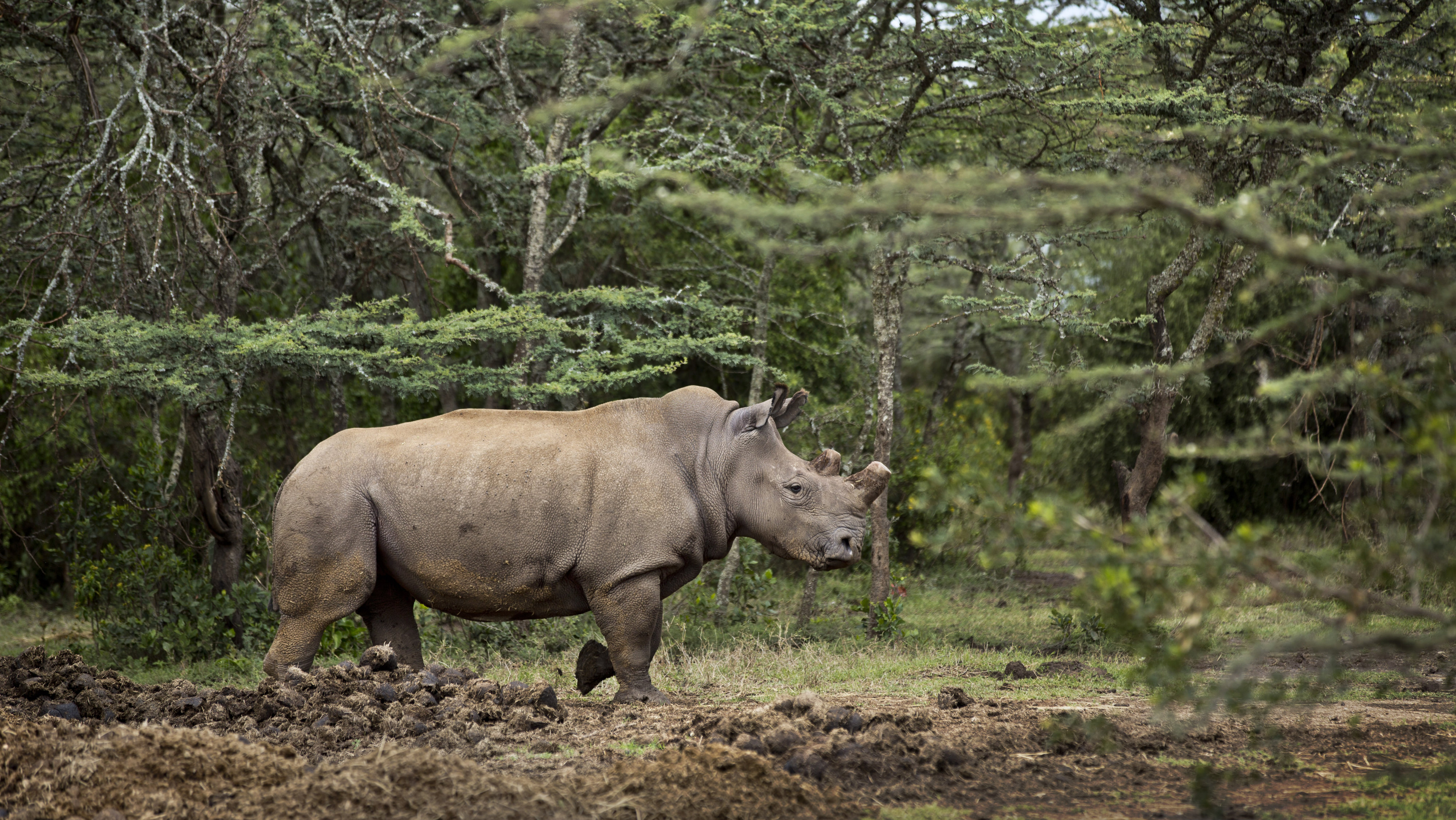 3D printed rhino horns will be