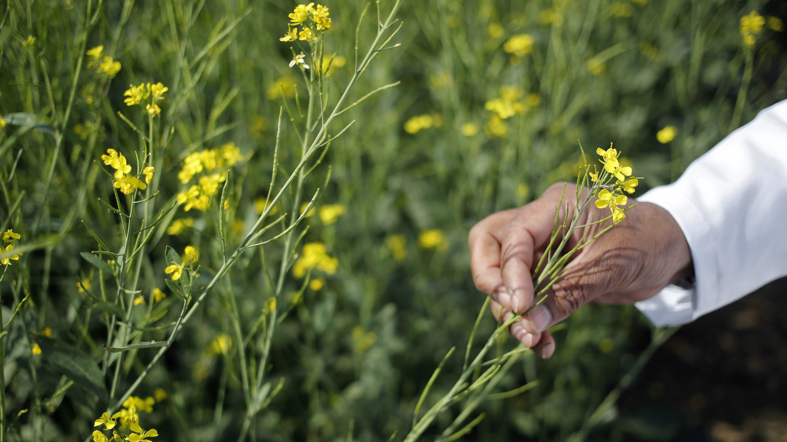An Indian scientist holds a genetically modified (GM) rapeseed crop under trial in New Delhi February 13, 2015.