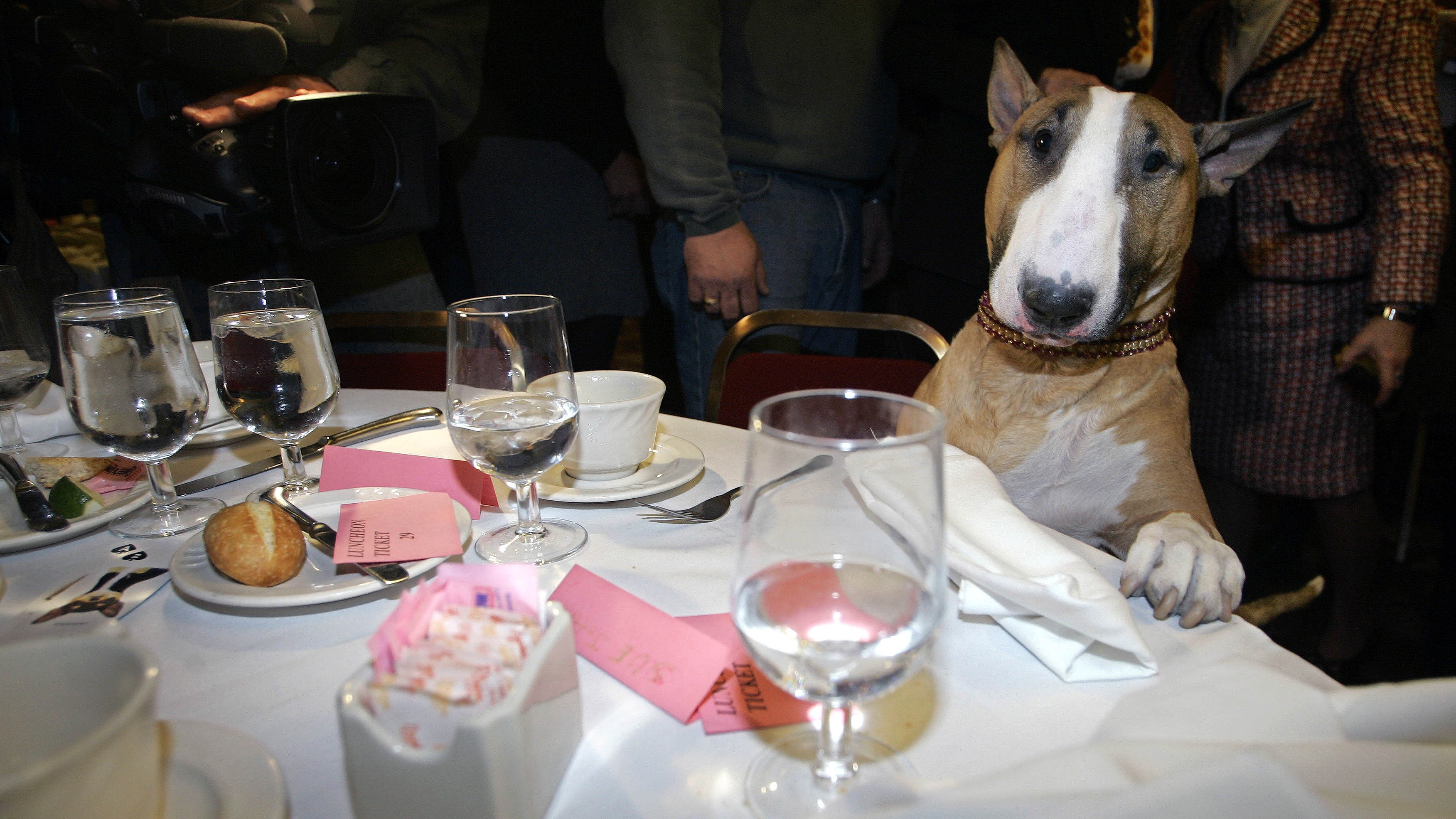 Rufus, a tan-and-white bull terrier, stands over a table at  Sardi's restaurant in New York, Wednesday, Feb. 15, 2006. Rufus became America's top dog Tuesday night by winning Best in Show at the Westminster Kennel Club.(AP Photo/Shiho Fukada).