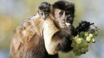 She-Devil, a 3 week-old Capucin monkey, rests on the shoulder of her mother.