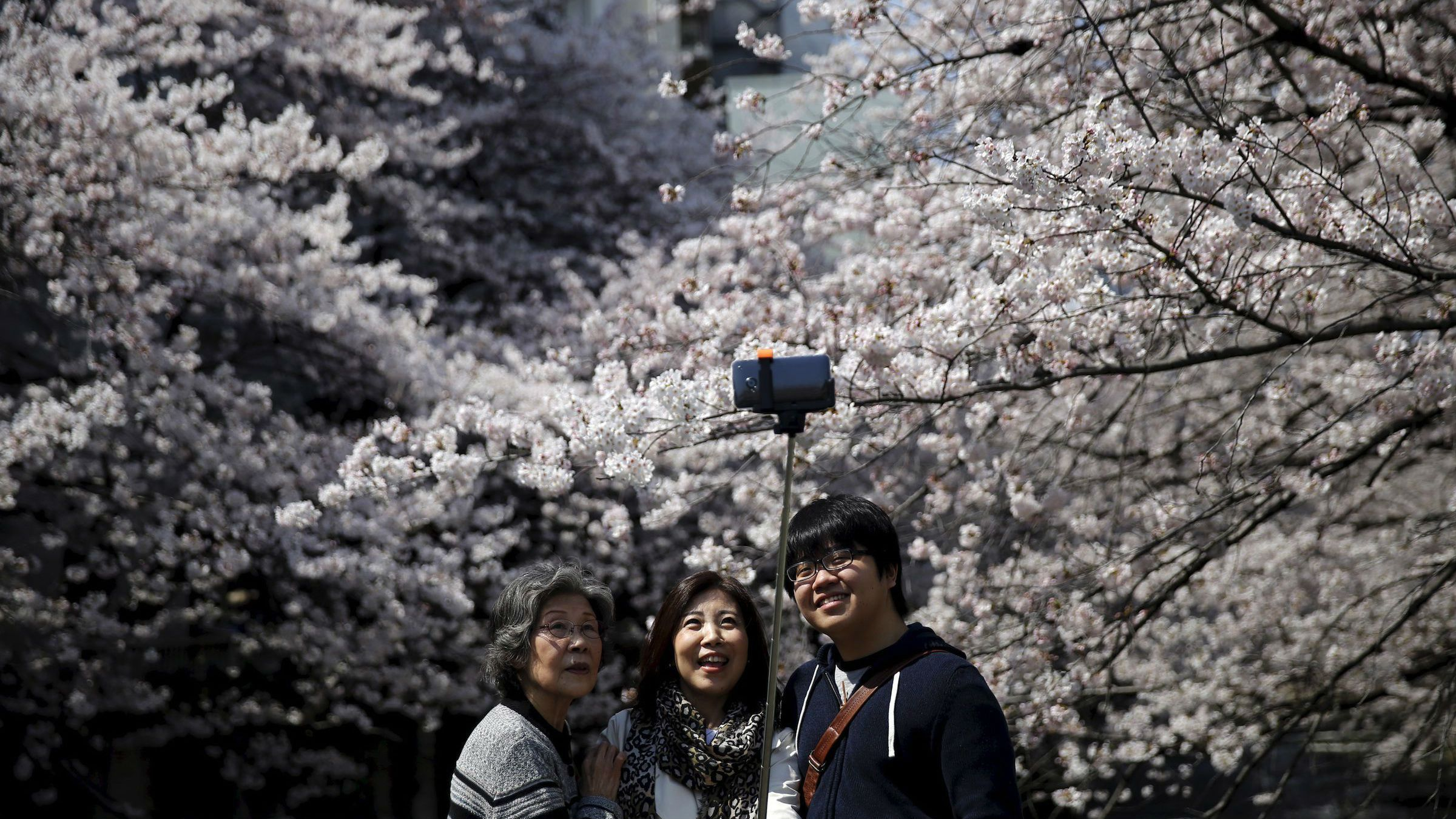 Cherry blossoms viewing season in Japan