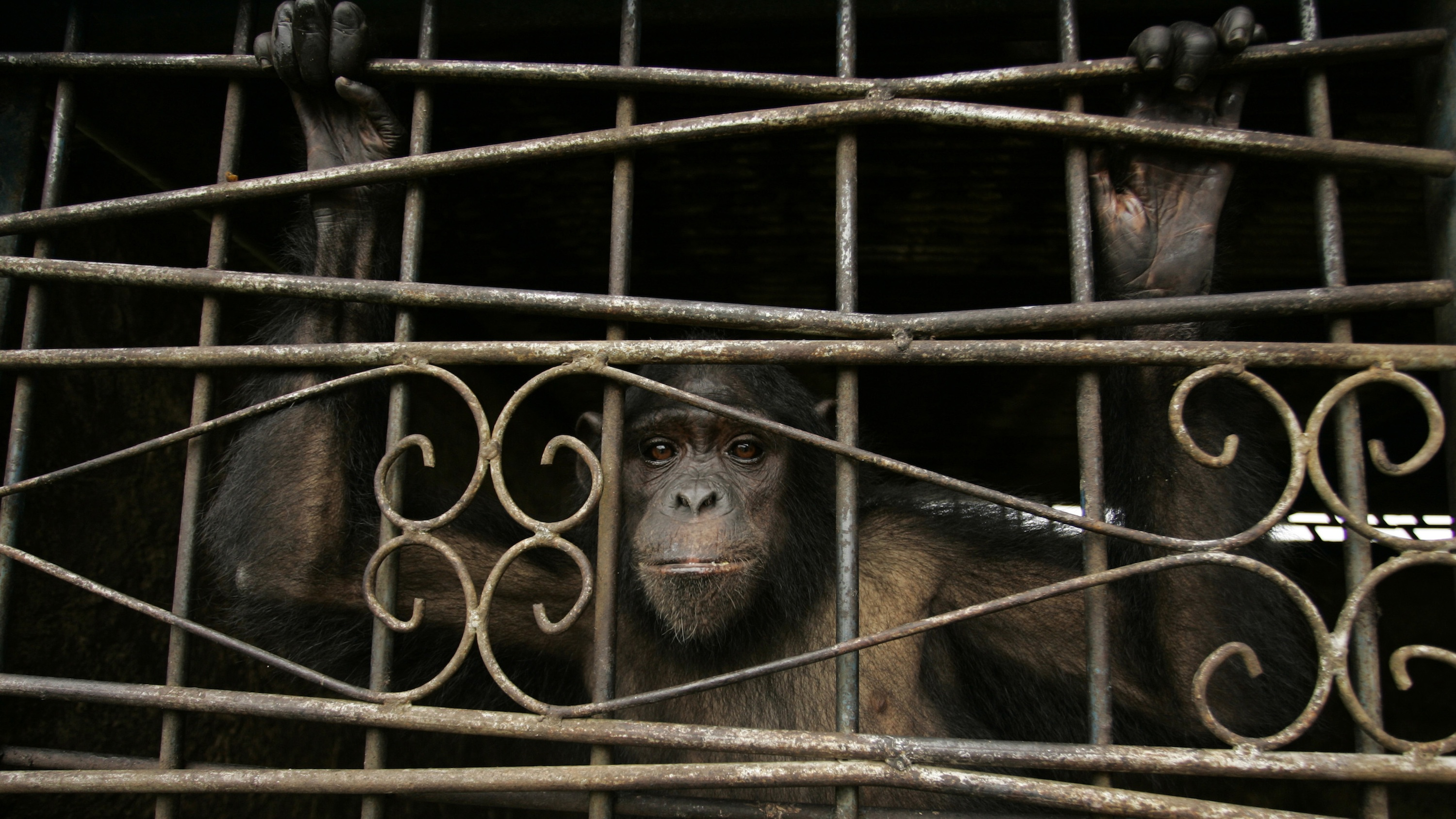 The great-ape personhood movement says apes have the right to liberty.