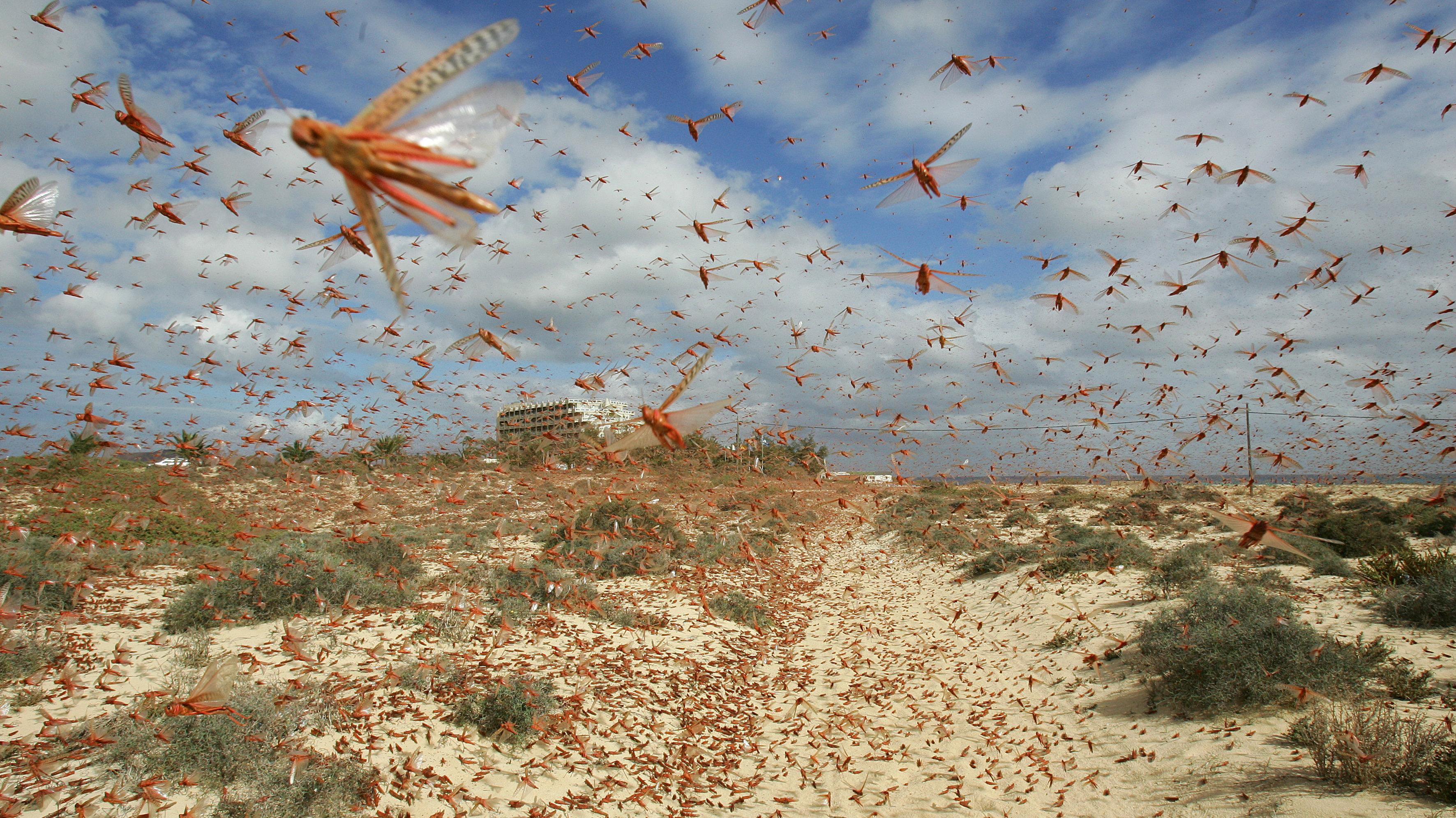 pink locusts