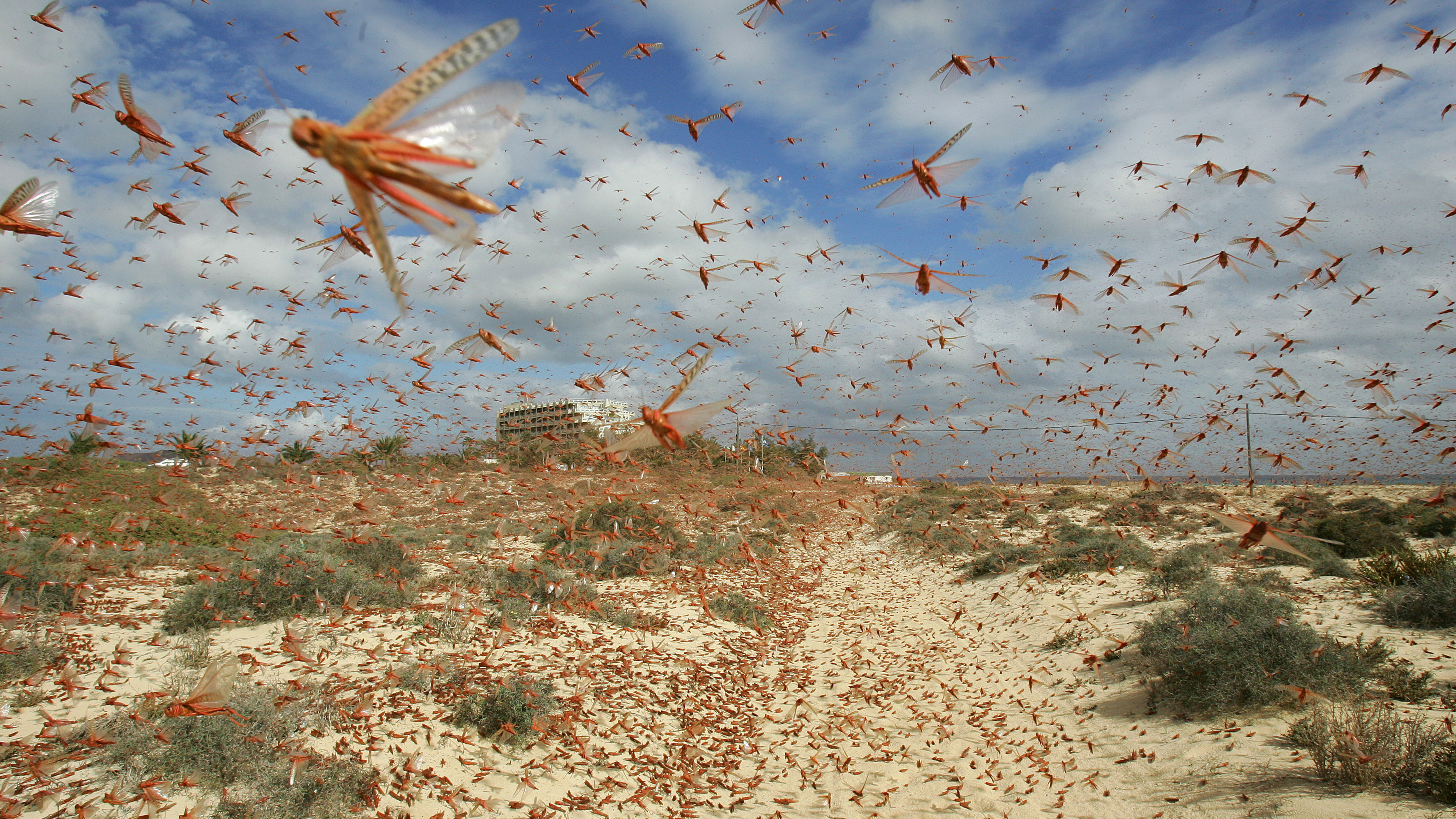 A swarm of pink locusts flies on a beach near Corralejo, on the Spanish Canary Island of Fuerteventura, November 29, 2004. Authorities in the Canaries have issued an alert as swarms of locusts arrived over the weekend from western Africa, with environmental experts estimating that some 100 million of the insects have reached the Canaries. Aid agencies claim that the locusts have destroyed up to a third of the crop in African countries affected by the locust plague. NO RIGHTS CLEARANCES OR PERMISSIONS ARE REQUIRED FOR THIS IMAGE.