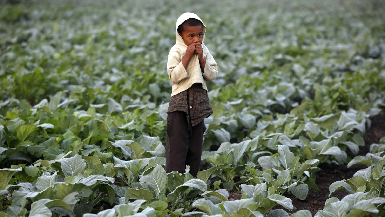 A boy watches his mother (not pictured) as she works in a cauliflower field in Kolkata November 28, 2013. Rural demand and other encouraging signs - a revival in exports and a narrowing of the current account deficit - have given India's policymakers reason to think the worst of the two-year economic slump may be over. Growth slid in the fiscal year to March 2013 to just 5 percent, the lowest pace since 2002/03.