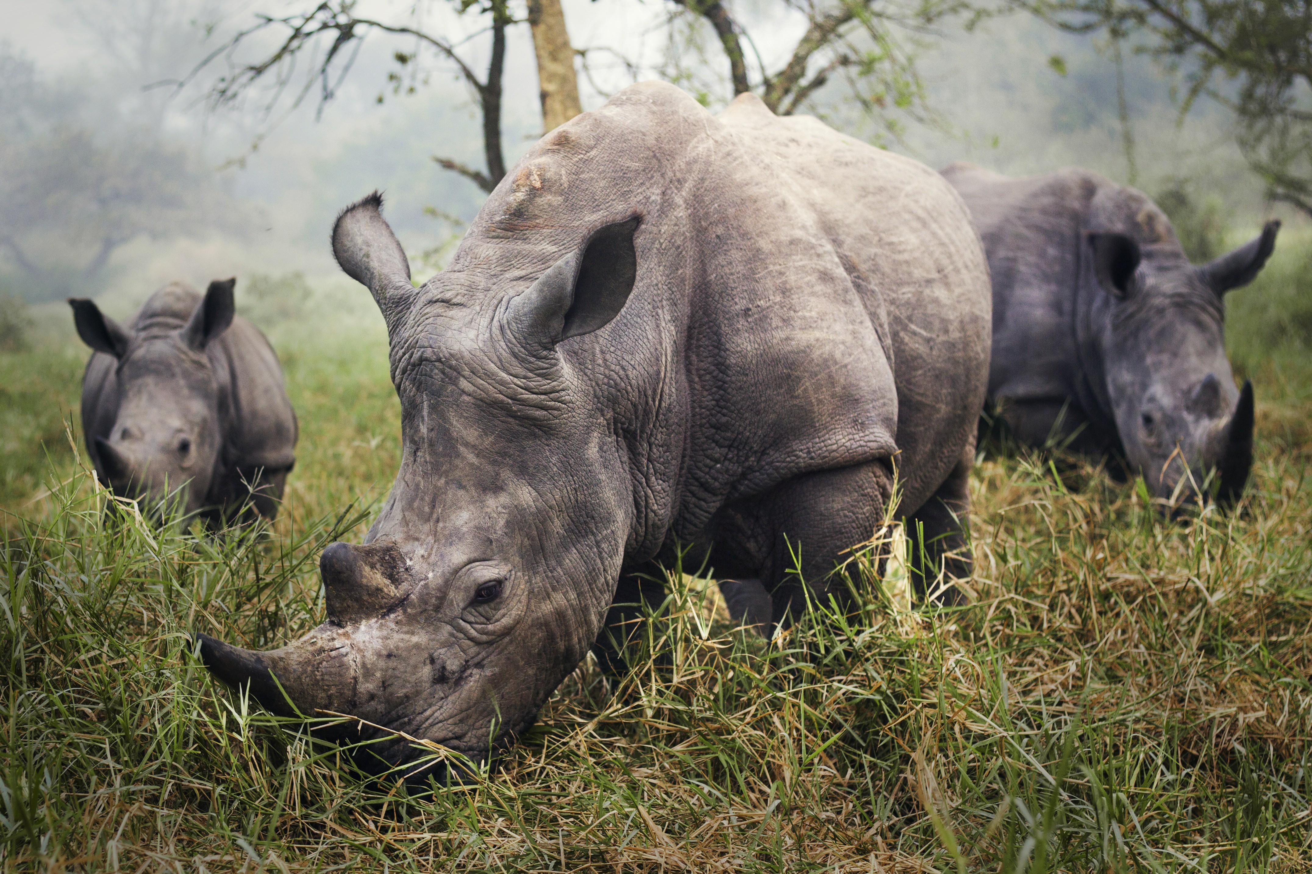 rhino horn poaching