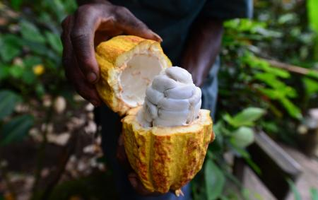 cold-brew cacao, A plantation worker displays a cut and ripened cocoa pod which contains some thirty to forty cocoa beans, fresh off a cocoa tree at the Fond Doux resort and plantation, on the grounds of a 19th century French colonial resort in Soufriere, Saint Lucia, on September 17, 2014. Across the Caribbean the cocoa industry, with roots tied to its colonial history, is being revitalized to help economies where the once dominant banana and sugar industries have all but been destroyed by free trade. On the island of Saint Lucia one can find chocolate-themed hotels, plantation tours, and even and annual Chocolate Festival to promote its cacao crop, which dates back to the 1700's. AFP PHOTO / Frederic J. BROWN (Photo credit should read FREDERIC J. BROWN/AFP/Getty Images)