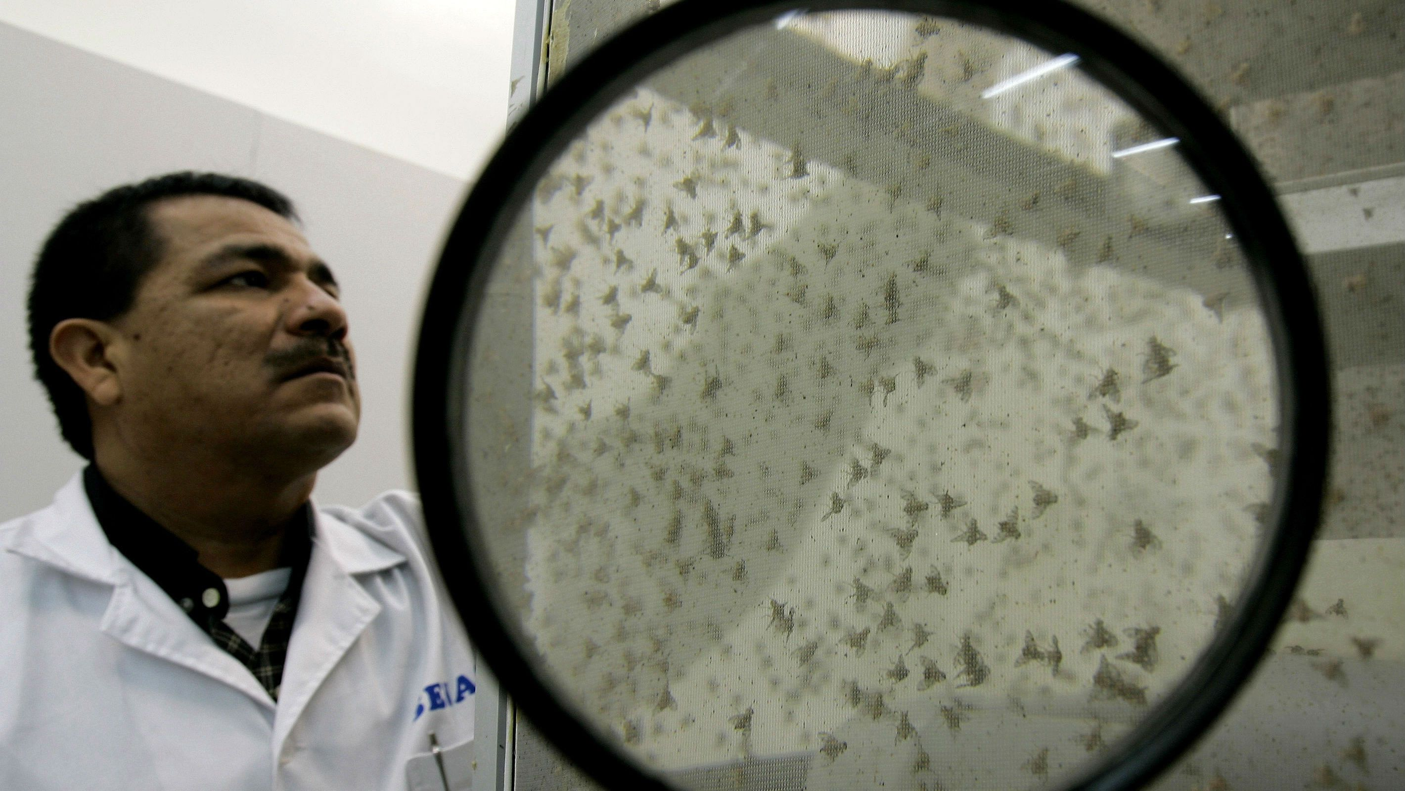 An expert observes fruit flies at the Agrarian Health Service in Lima, Peru on Friday, Sept. 22, 2006. Peru is intensifying its fight against the fruit fly, using radiation to sterilize millions of these insects to avoid their propagation and millions of dollars in damages. (AP Photo/Martin Mejia)