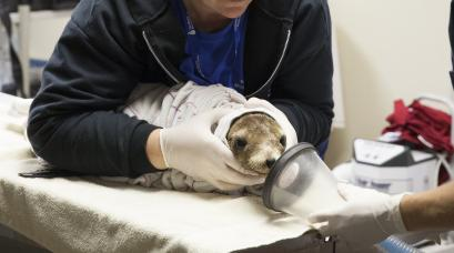 epa04736361 (11/20) Cara Field, staff veterinarian and Rebecca Green associate veterinarian prepare to sedate a malnourished and dehydrated sea lion pup that have been stranded along the northern California coast receive much need care at the Marine Mammal Center in Sausolito, California, USA, 07 April 2015. Wildlife services in California are being pushed to their limits this year. Since January 2015, every month has set a record in sea lion strandings, mostly sea lion pups, according to the National Oceanic and Atmospheric Administration. EPA/PETER DASILVA PLEASE REFER TO ADVISORY NOTICE (epa04736350) FOR FULL FEATURE TEXT