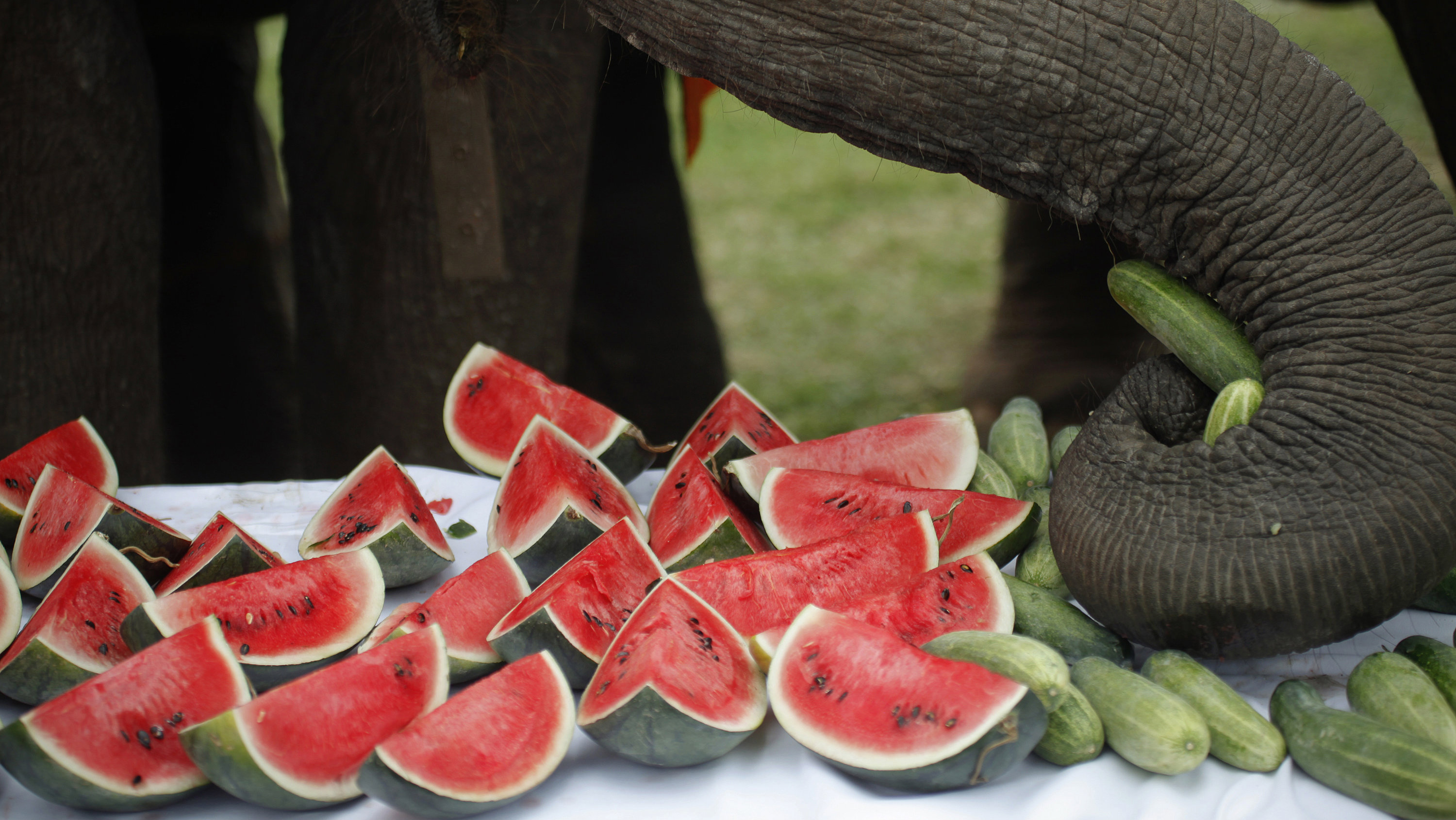Street elephants are offered food during the opening parade of the 10th annual King's Cup Elephant Polo Tournament in Hua Hin, nearly 160 km (99 miles) south of Bangkok September 5, 2011. Twelve international teams rode Thai street elephants during the September 5-11 tournament. Picture taken September 5.