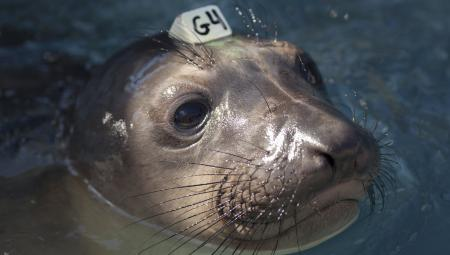 epa04736364 (14/20) A close-up view of an elephant seal under treatment, swimming at the Marine Mammal Center in Sausolito, California, USA, 07 April 2015. Wildlife services in California are being pushed to their limits this year. Since January 2015, every month has set a record in sea lion strandings, mostly sea lion pups, according to the National Oceanic and Atmospheric Administration. EPA/PETER DASILVA PLEASE REFER TO ADVISORY NOTICE (epa04736350) FOR FULL FEATURE TEXT