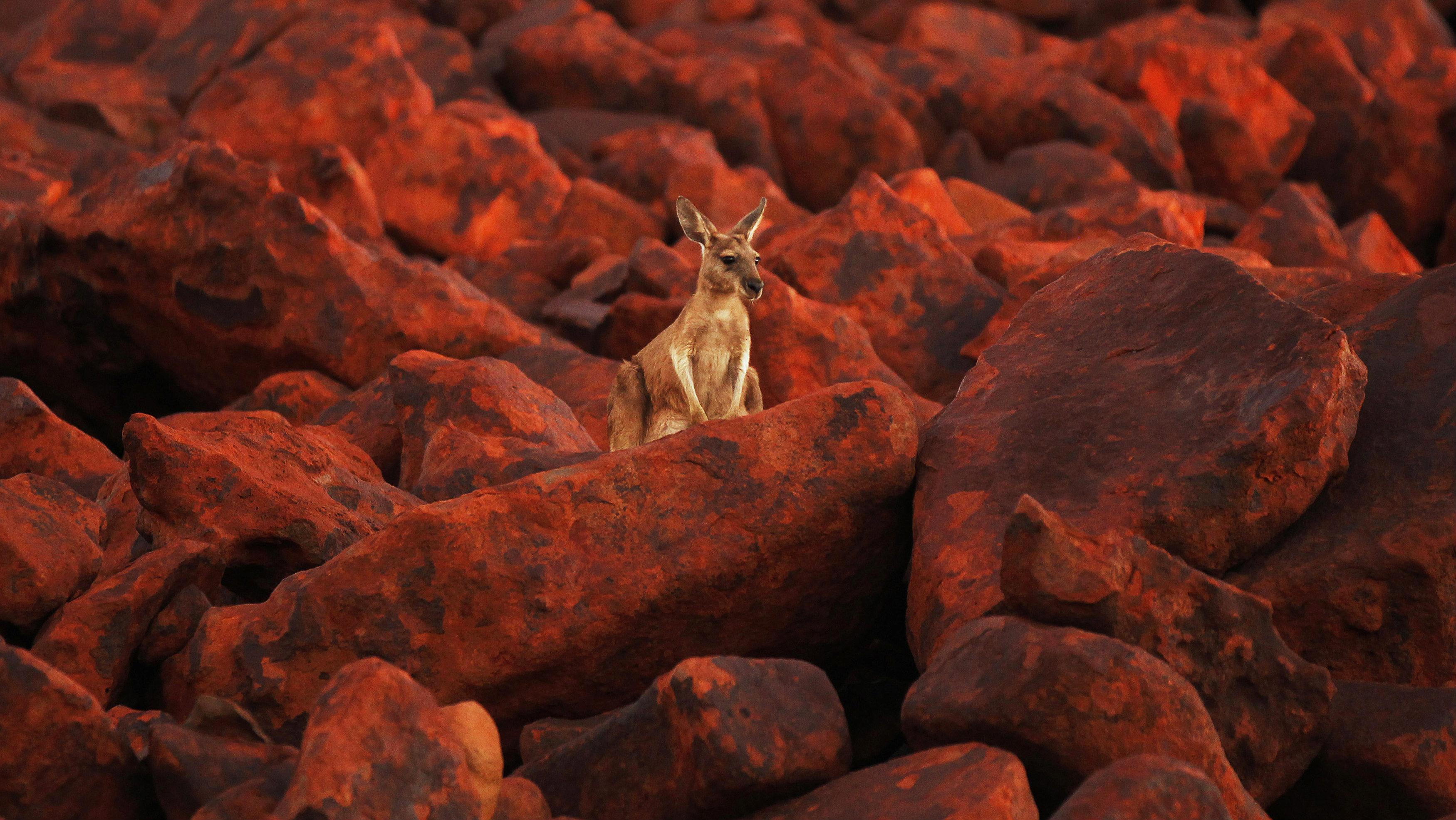 kangaroo on rocks