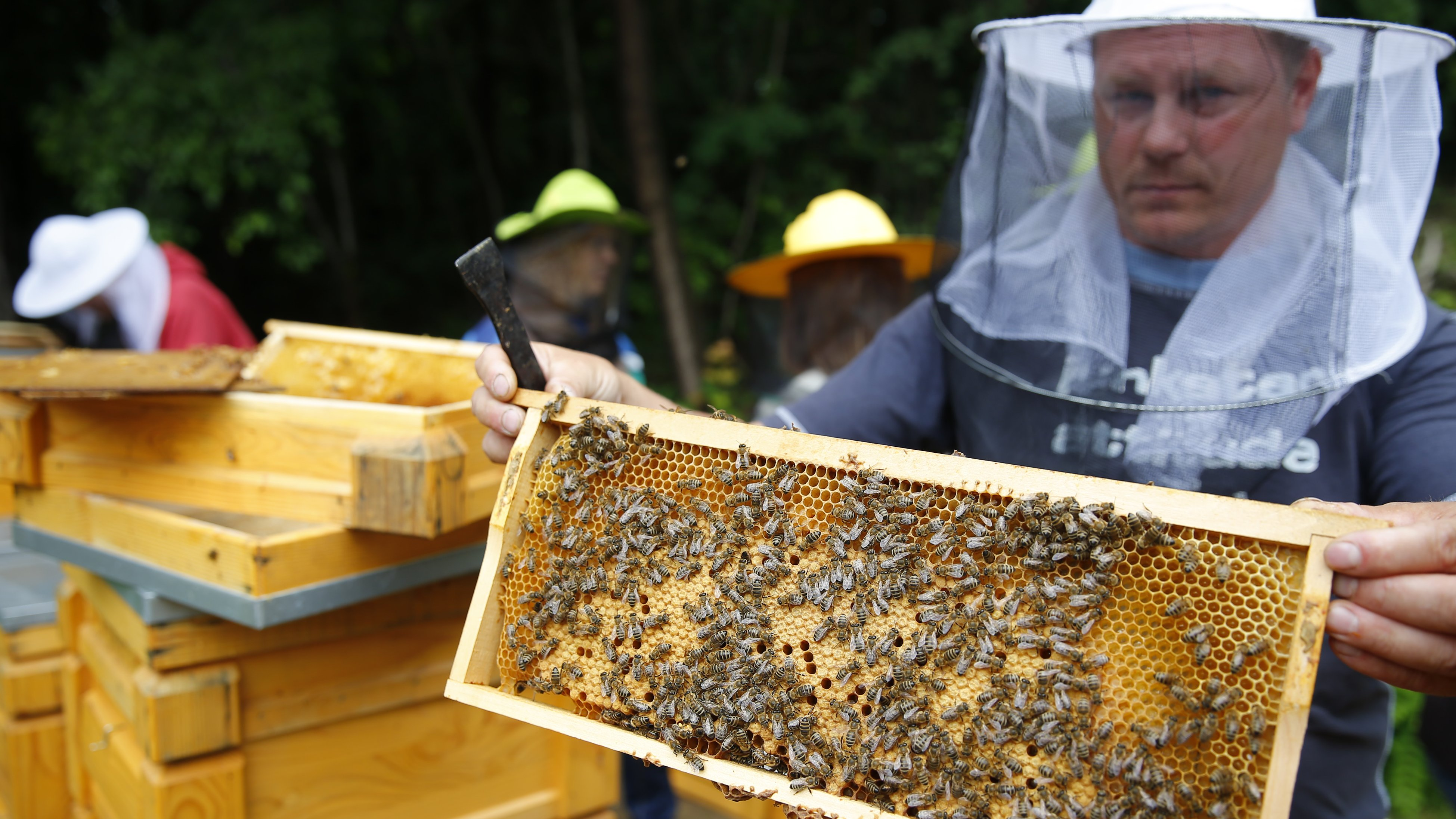 A beekeeping expert shows a beehive honeycomb frame at the Apiarian Research Centre in Godollo, 25 km east of the Hungarian capital Budapest, on June 5, 2013. Picture taken July 5, 2013. REUTERS/Laszlo Balogh (HUNGARY - Tags: ENVIRONMENT ANIMALS) - RTR3KF8P