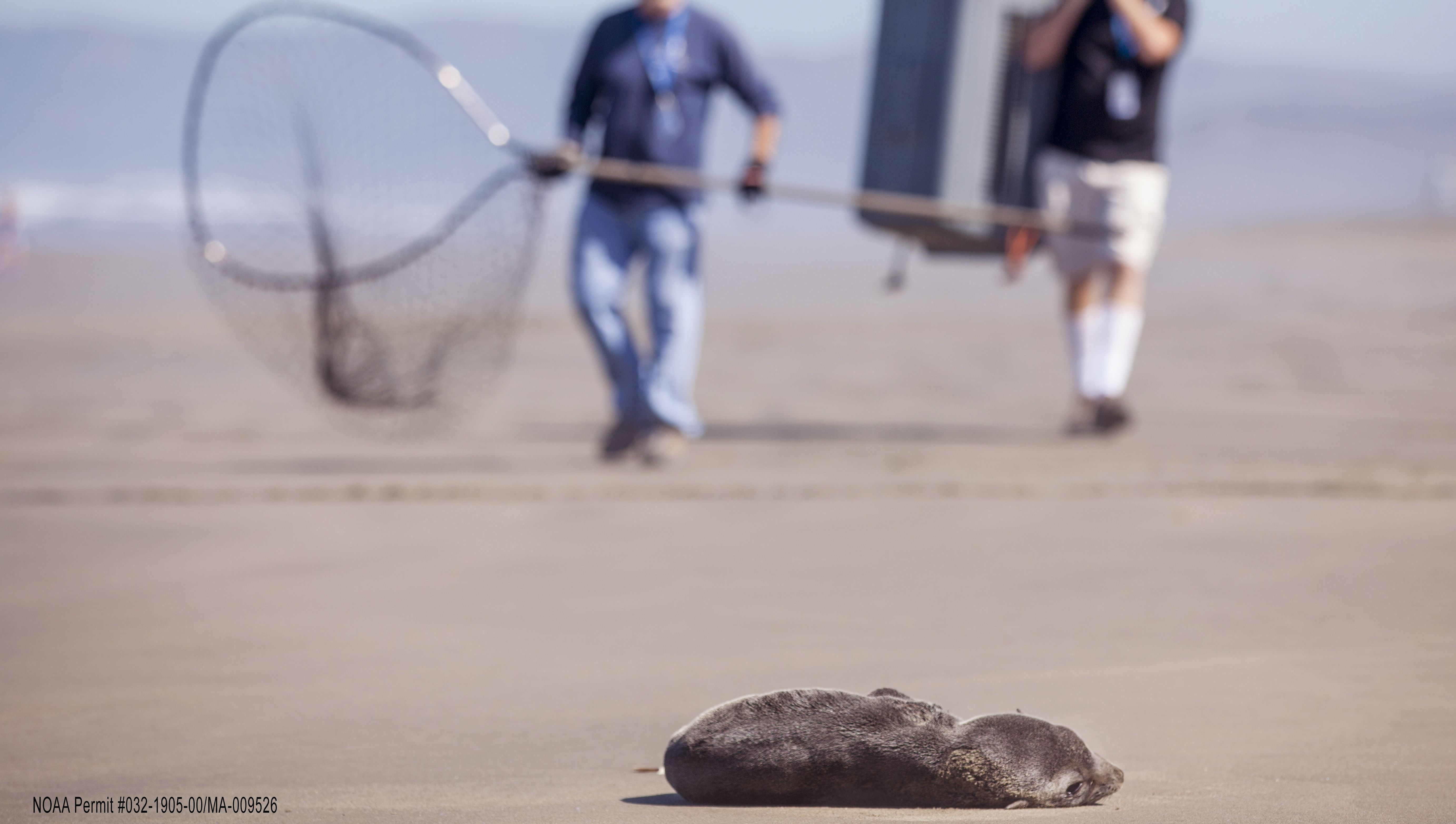 Volunteers from the Marine Mammal Center approach a stranded fur seal on Ocean Beach for rescue in San Francisco, California.