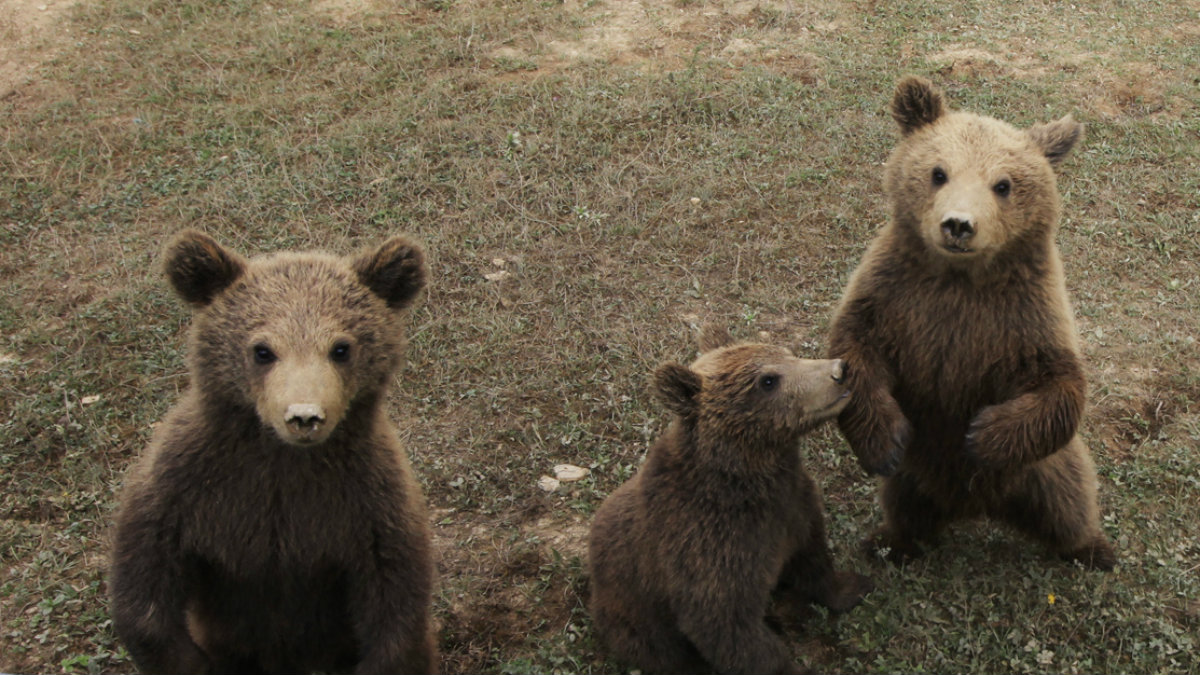 Three brown bear cubs are pictured before they were transported to a wildlife enclosure in a Kosovo forest, at a bear sanctuary in Mramor near capital Pristina.
