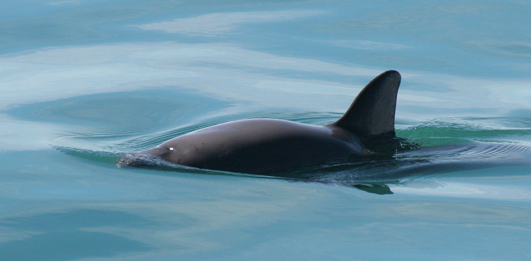 The vaquita in its home habitat in the Gulf of California.