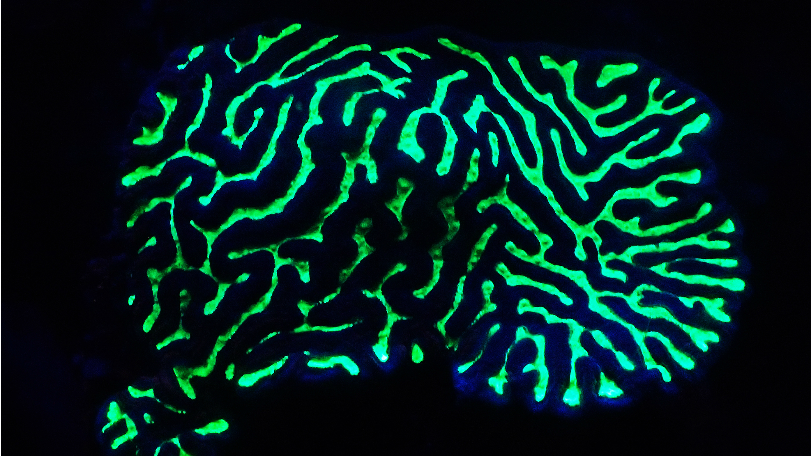corals-from-shallow-water-of-the-red-sea-are-mostly-green-fluorescent-as-this-platygyra-coral