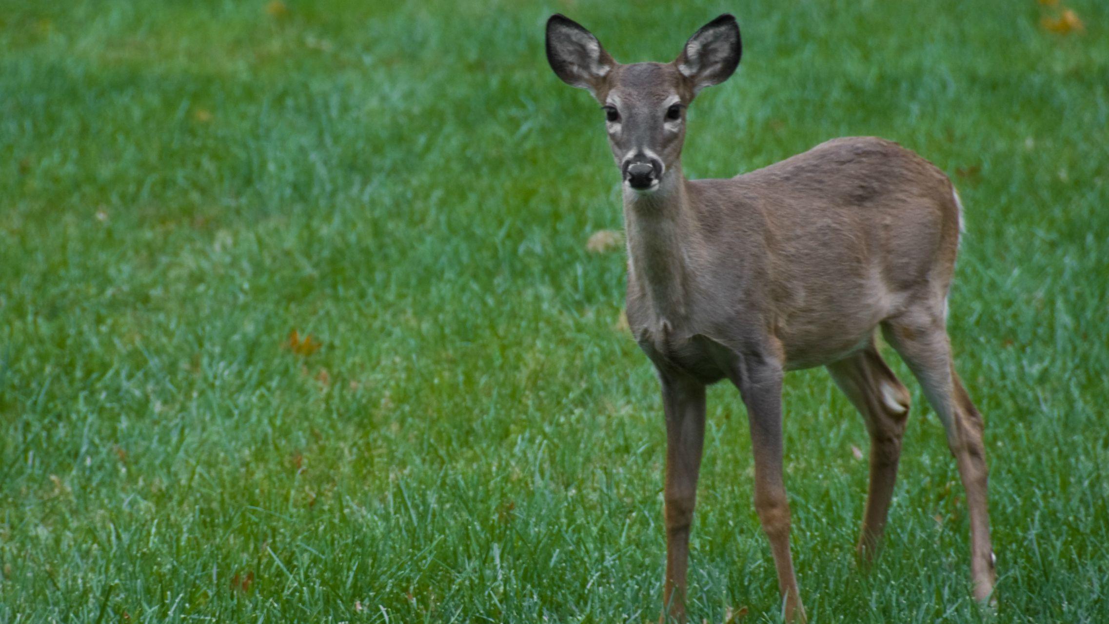 deer flickr user nosha