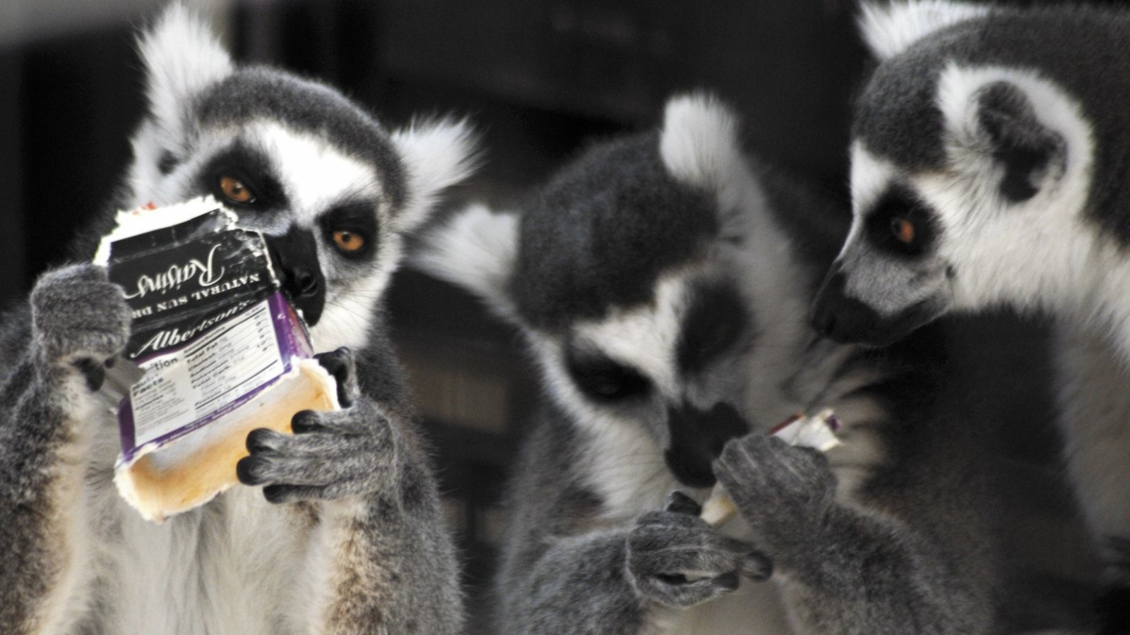Louis, Hedley and Dorothy, the Ring-tailed Lemur family at the Spring River Zoo in Roswell, New Mexico, examine and nibble upon an old cardboard box that had blown into their cage Wednesday, March 4, 2009 during gusty winds. According to zoo director Elaine Mayfield the Lemur cage is cleaned out every morning to clear such debris. (AP Photo/Roswell Daily Record  Mark Wilson)
