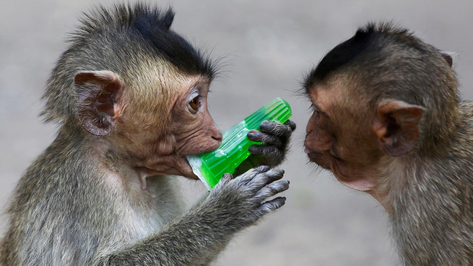 Why Monkeys Choose to Drink Alone