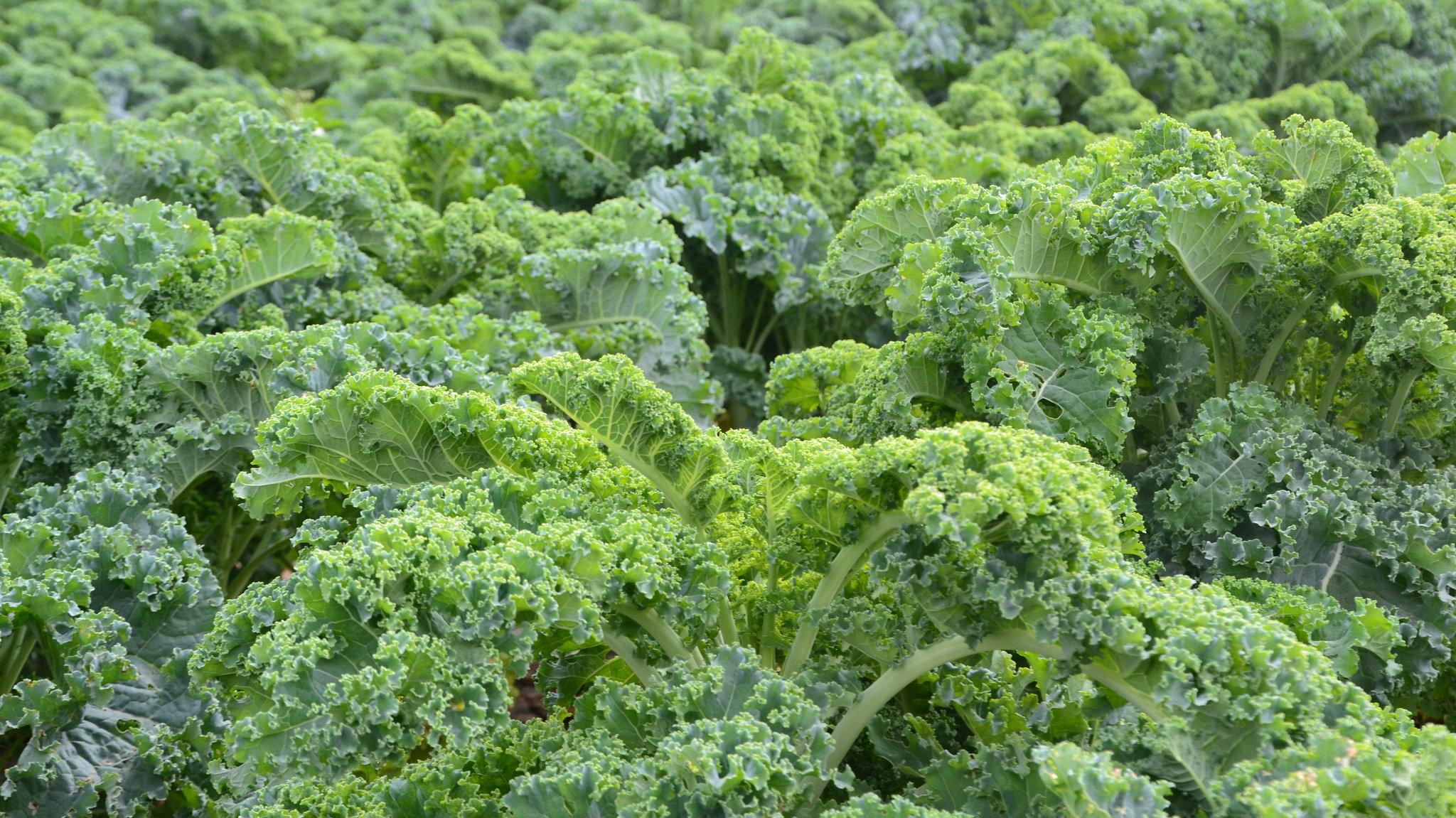organic-farming-profit-kale-money