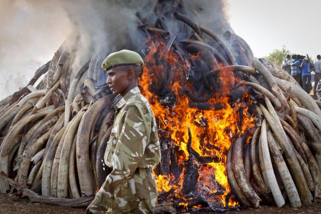 62e727921a0d46 ... elephants means outmaneuvering nimble poaching and trafficking ...