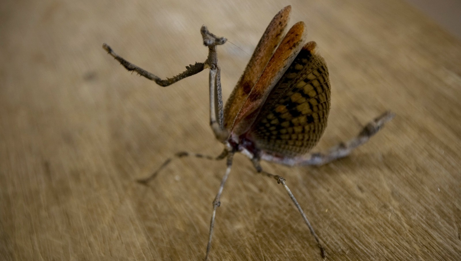 A praying mantis displays its wings in the eastern Chadian town of Gos Beida