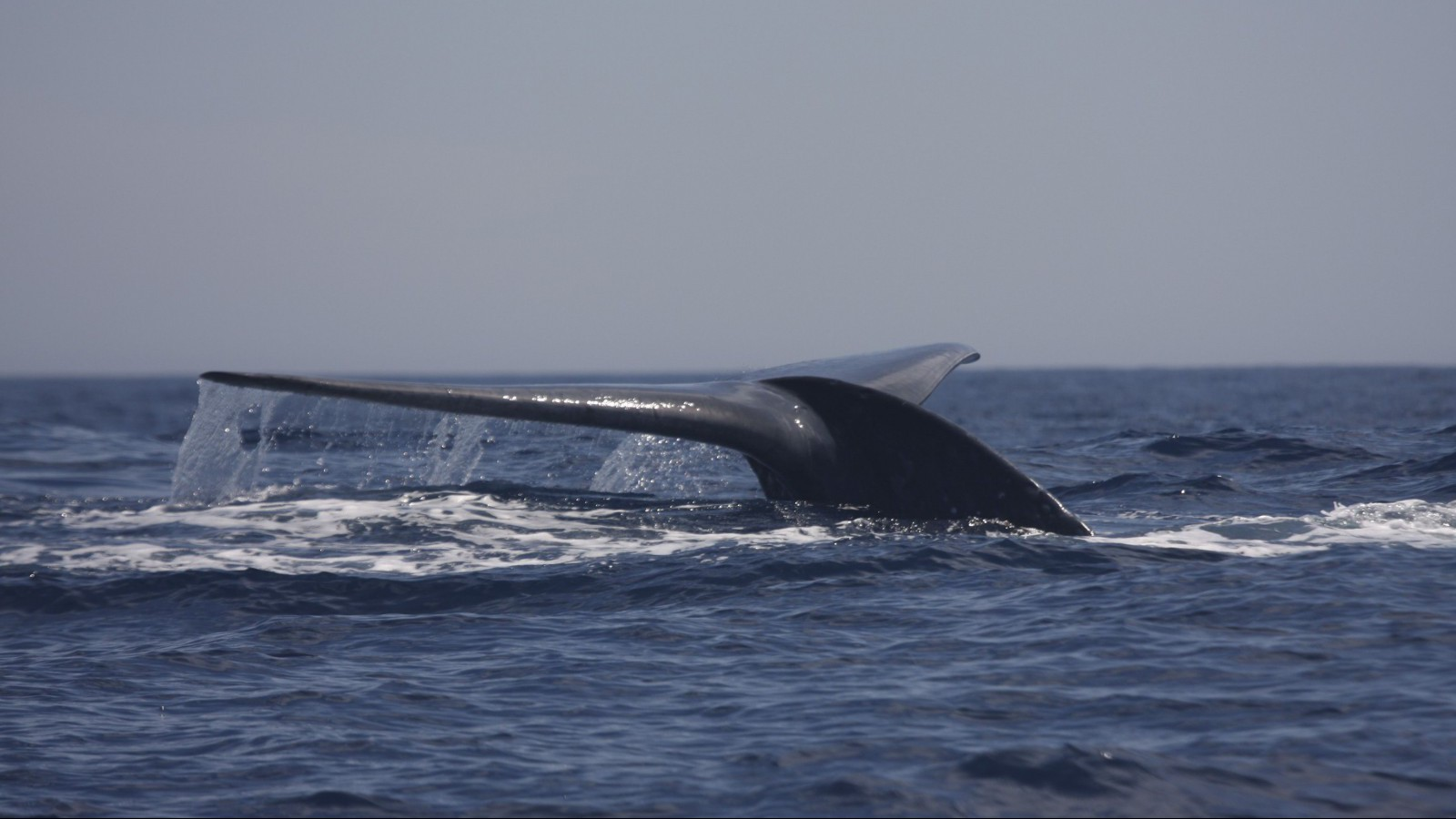 A blue whale surfaces in the Bass Strait waters off Australia January 16, 2012. Australian scientists are using military technology for locating submarines to track rare blue whales hundreds of kilometres away by eavesdropping on their distinctive songs. Picture taken January 16, 2012. REUTERS/Australian Antarctic Division/Handout (AUSTRALIA - Tags: ANIMALS ENVIRONMENT SOCIETY) FOR EDITORIAL USE ONLY. NOT FOR SALE FOR MARKETING OR ADVERTISING CAMPAIGNS. THIS IMAGE HAS BEEN SUPPLIED BY A THIRD PARTY. IT IS DISTRIBUTED, EXACTLY AS RECEIVED BY REUTERS, AS A SERVICE TO CLIENTS - RTR38TFW