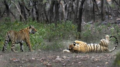 India-Tiger-Census-Counting