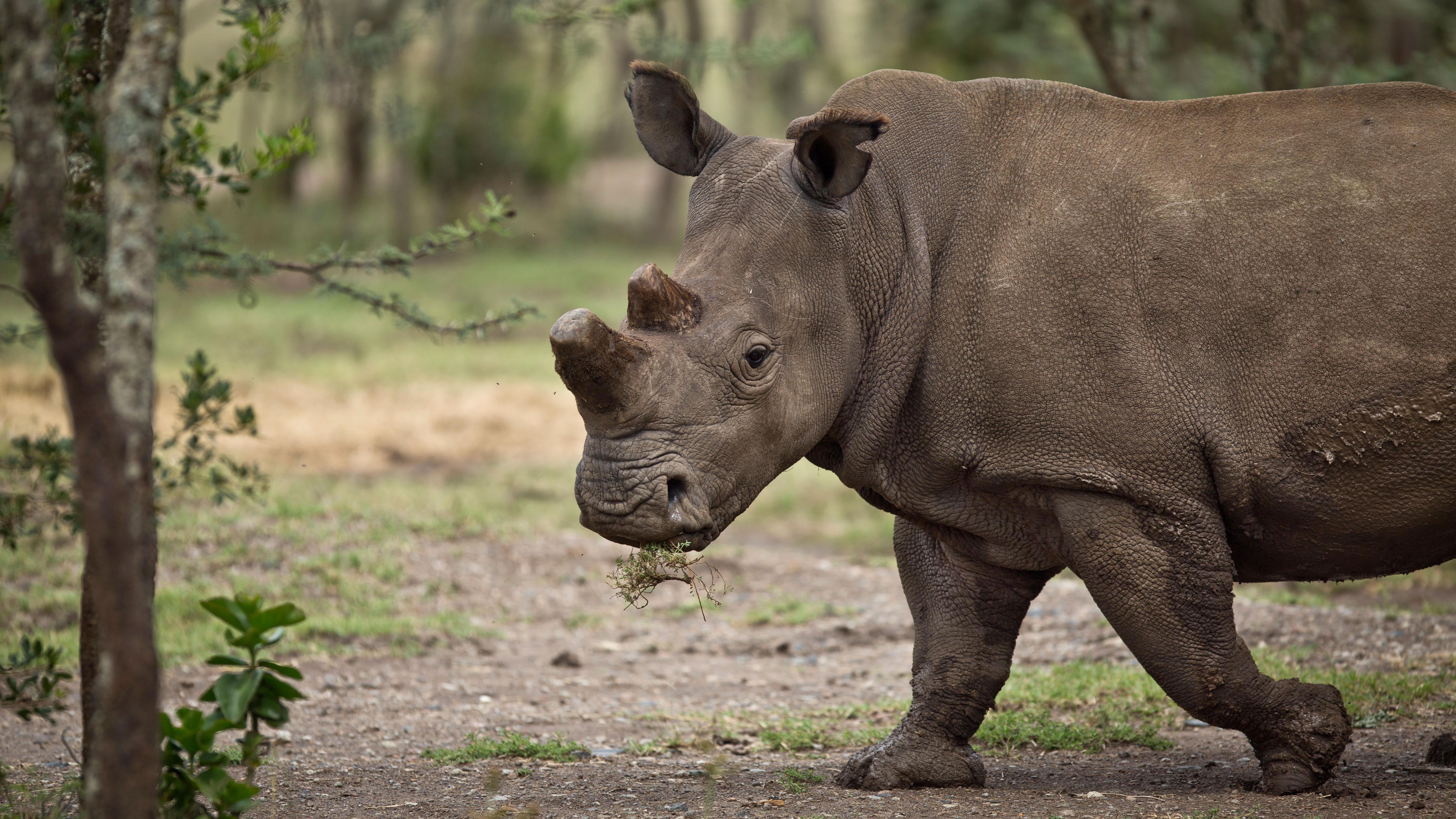 endangered rhino horn