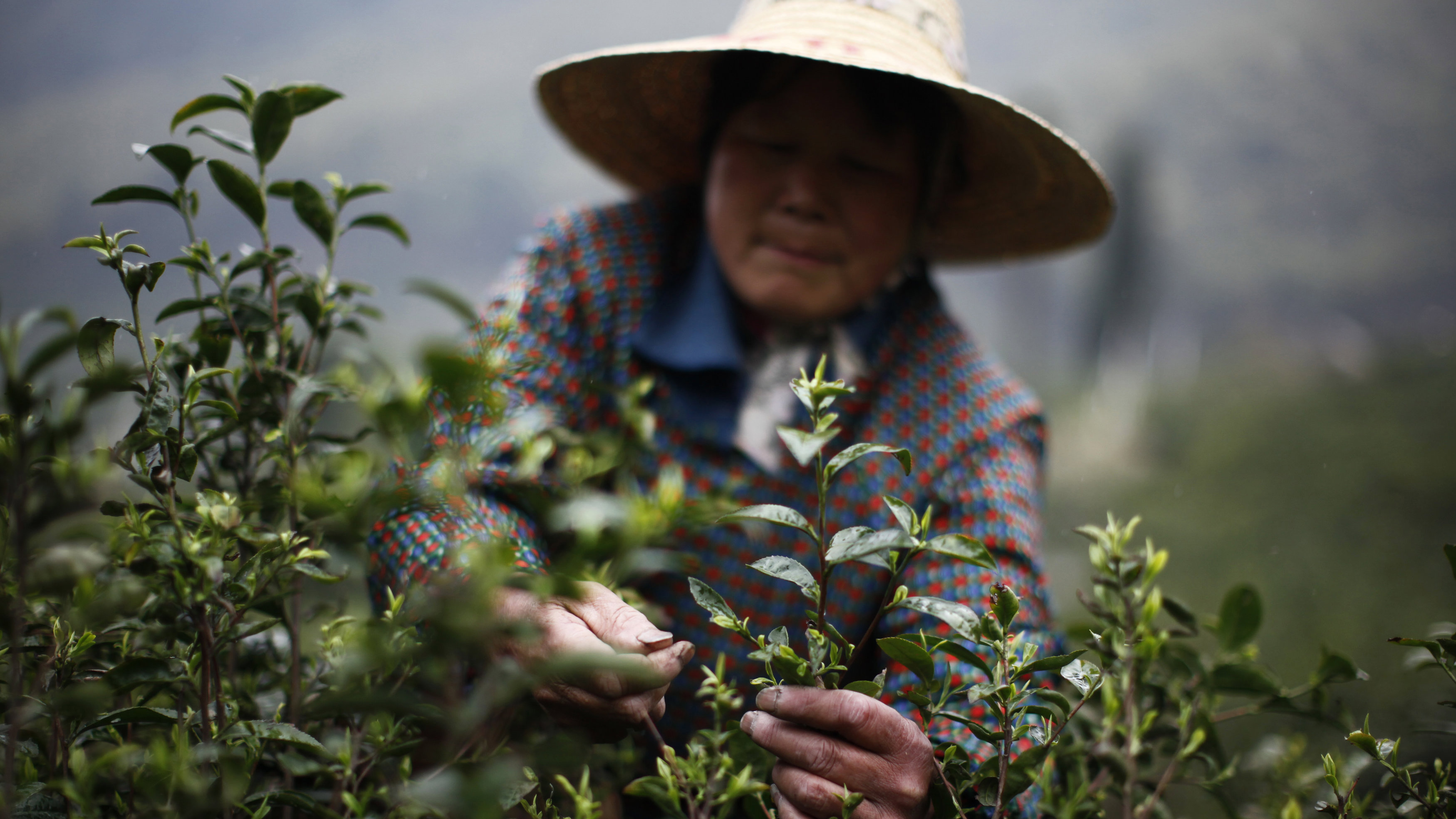 A woman picks tea leaves at a tea plantation in Moganshan, Zhejiang province April 9, 2012. China is the world's largest tea producing country with an output of 1.4 million tonnes and a 33 percent share of the world's total. Moganshan's tea is among the most famous and aromatic teas in China.