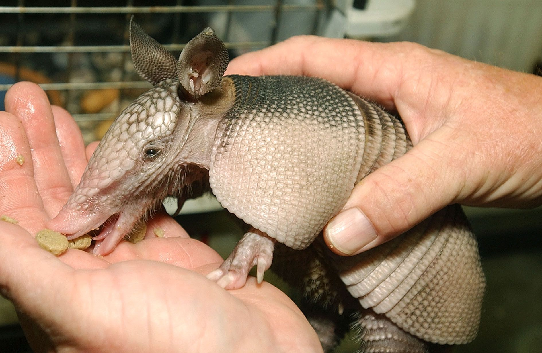 "** FILE ** A baby nine banded armadillo eats from the hand of Jon Johnson, executive director of the St. Francis Wildlife Association in Havana, Fla., in this , June 27, 2002, file photo. Armadillos invaded Texas from Mexico in the 1800s and they've been spreading North and East ever since. Their name means ""little armored thing"" in Spanish. A common road kill and a nuisance to some homeowners in south Georgia for years, now they have spread to the chillier northern half of the state where their digging and burrowing is already generating complaints. (AP Photo/Phil Coale)"